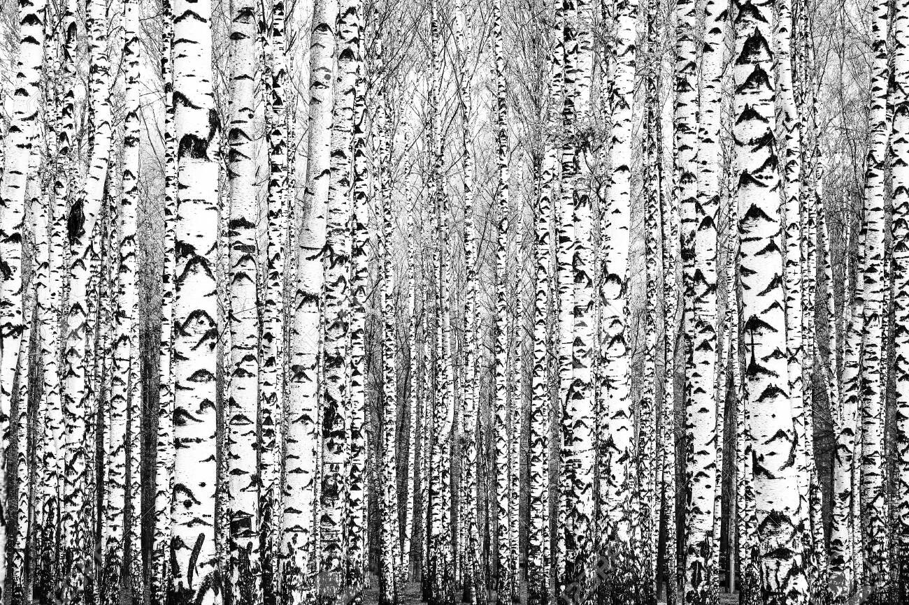 Spring trunks of birch trees black and white - 131896776