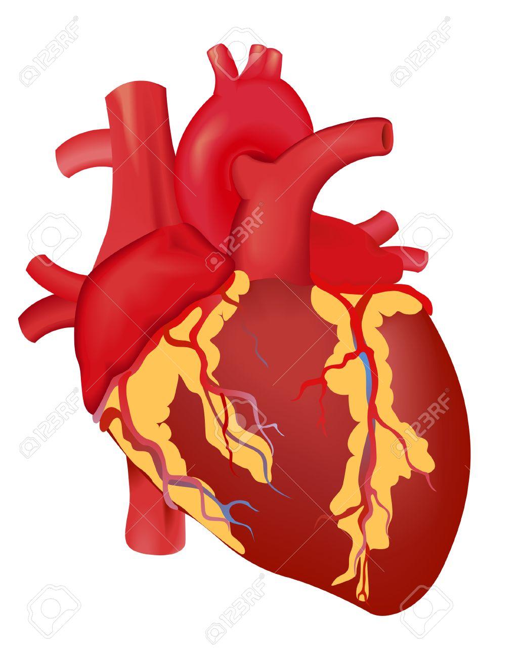 Human Heart Vector Image Human Heart Human Heart With