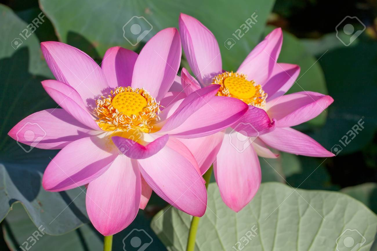 Beautiful Flowers Of A Lotus Nelumbo Komarovii Nelumbo Nucifera