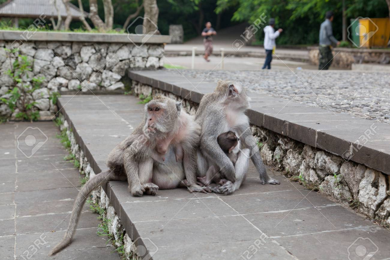 family of wild monkeys on road elicits meal Stock Photo - 13695048