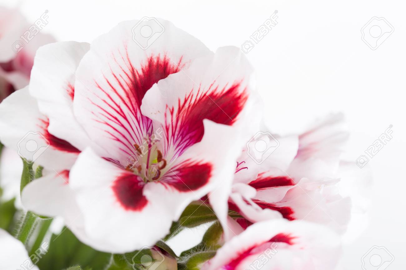 Flowers Of A Two-color Geranium Close Up Stock Photo, Picture And ...