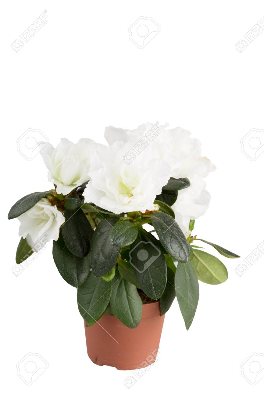 Mini azalea with big white flowers isolated a white background mini azalea with big white flowers isolated a white background stock photo mightylinksfo