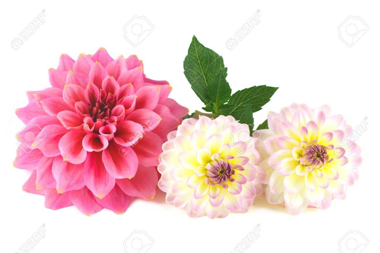 Dahlia flower arrangement on white background stock photo picture dahlia flower arrangement on white background stock photo 16846554 izmirmasajfo