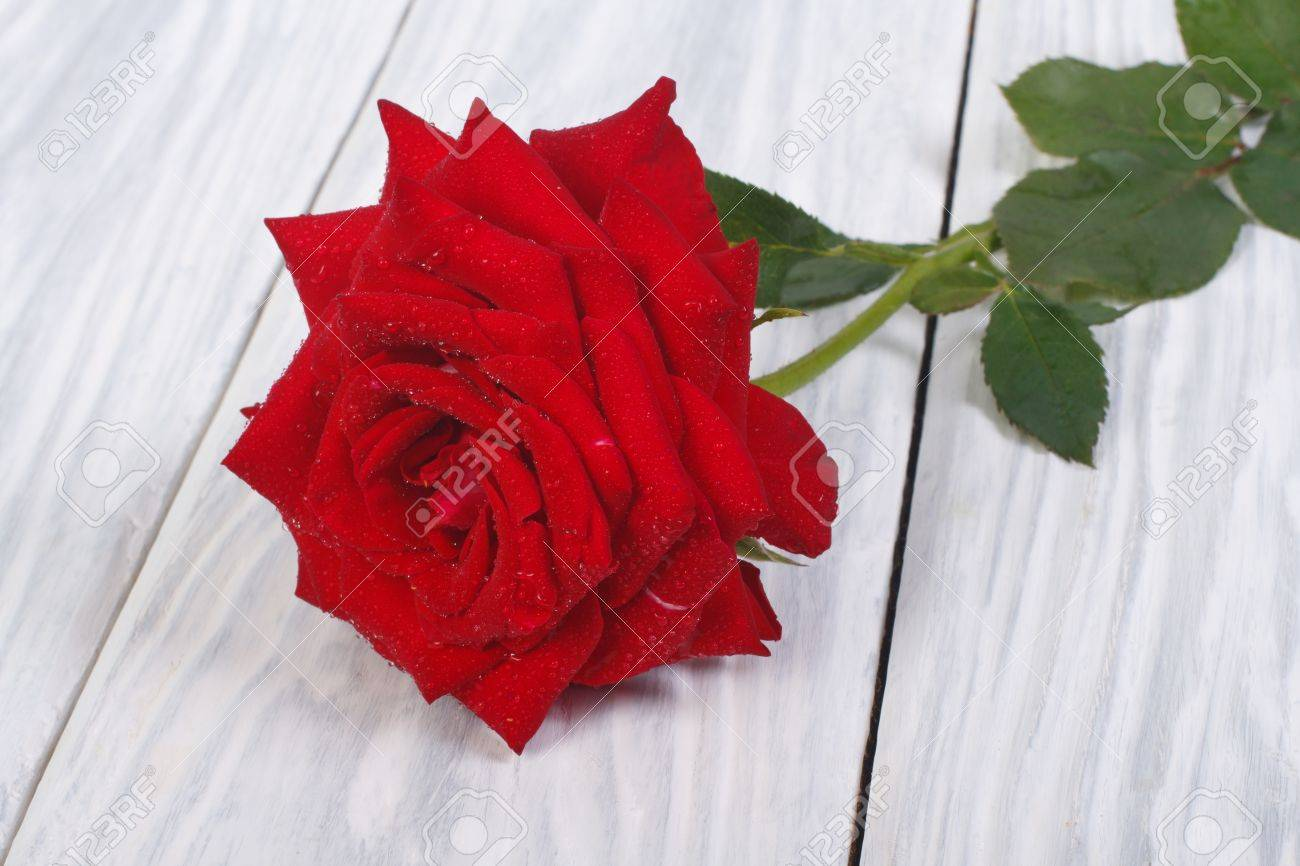 Beautiful flower of a red rose with green leaves and dew drops stock beautiful flower of a red rose with green leaves and dew drops stock photo 20979628 izmirmasajfo Images