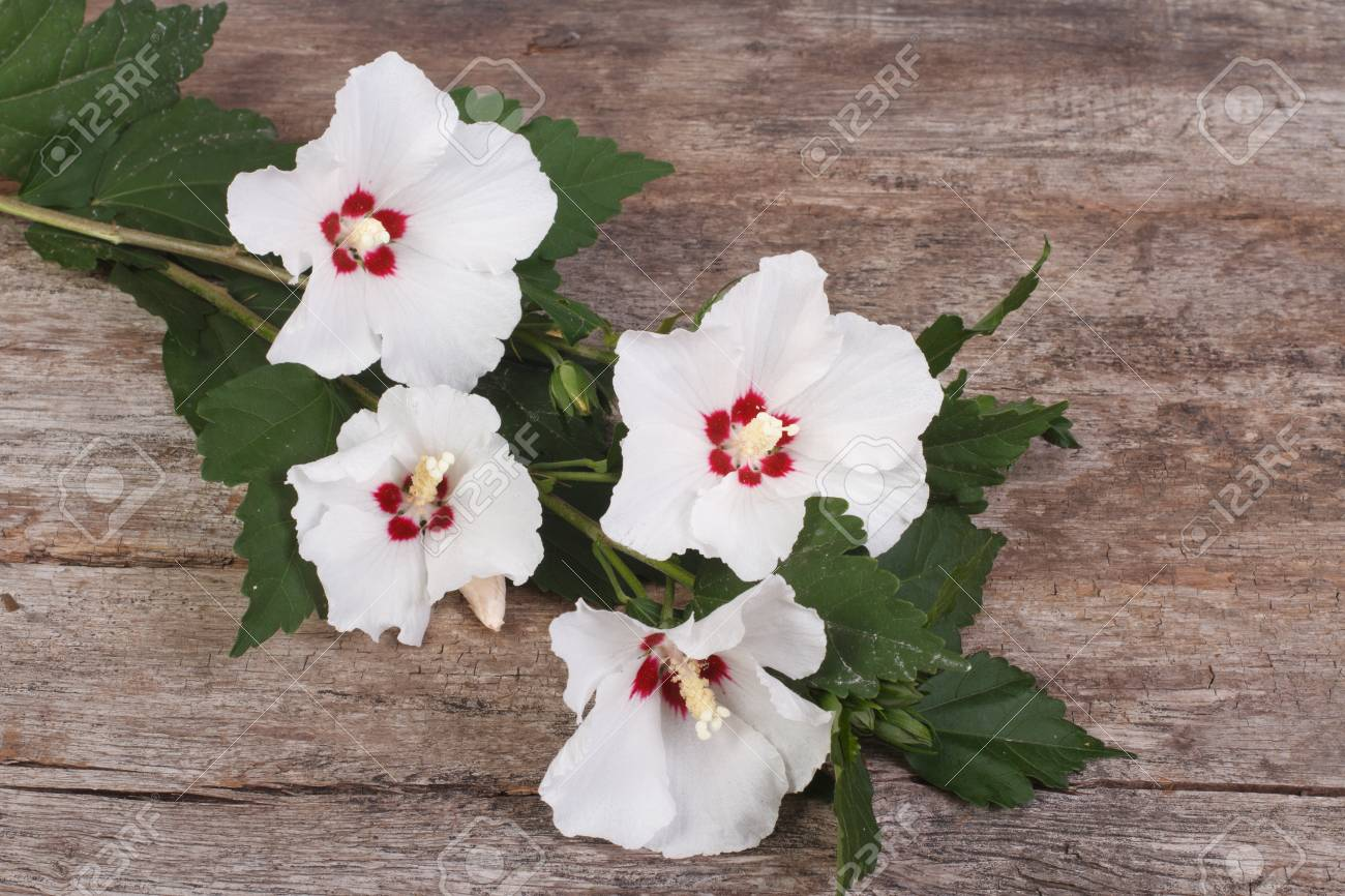 White Hibiscus Flowers On A Wooden Background Stock Photo Picture