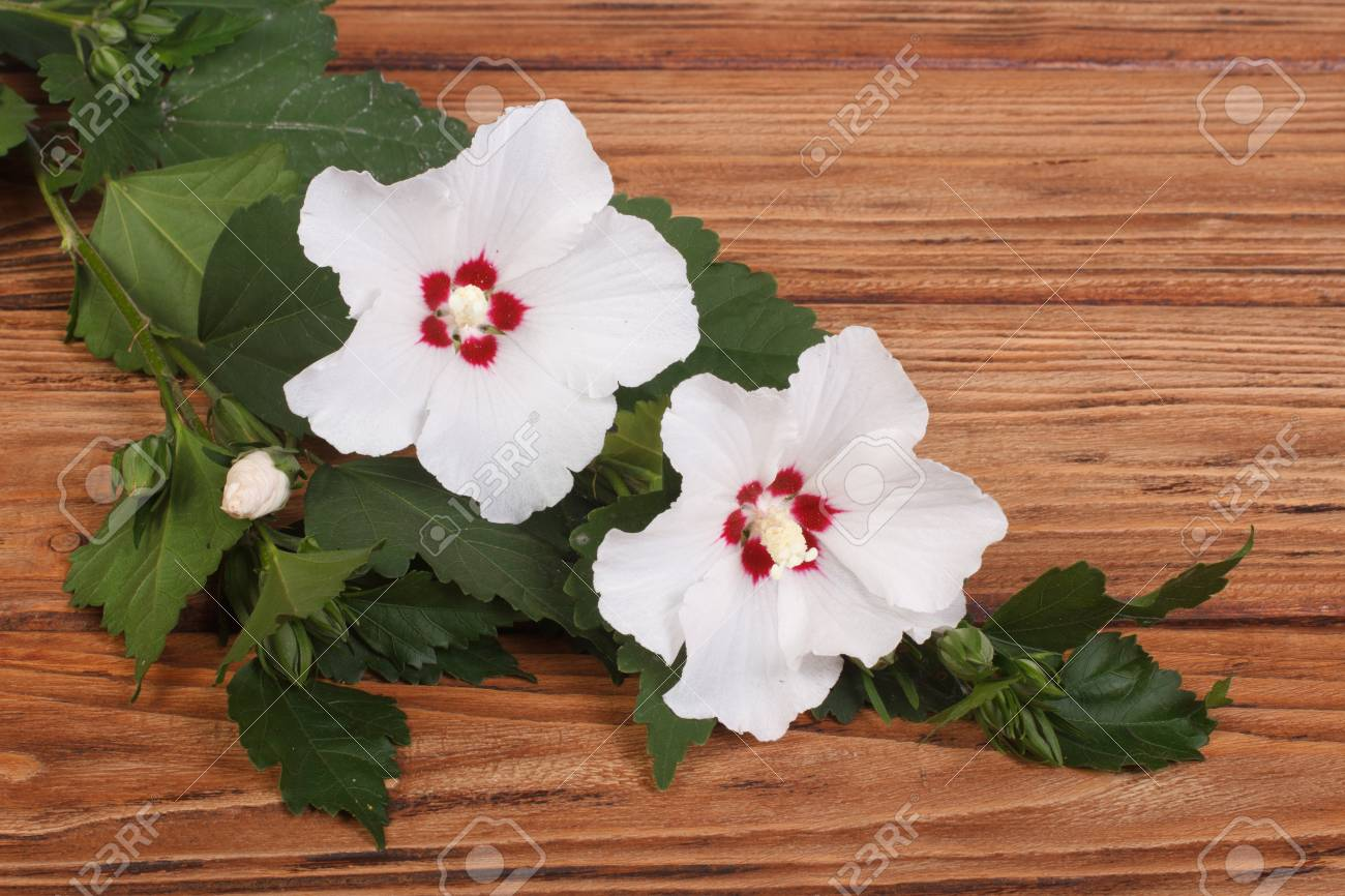White Hibiscus Flowers On A Brown Wooden Table Stock Photo Picture