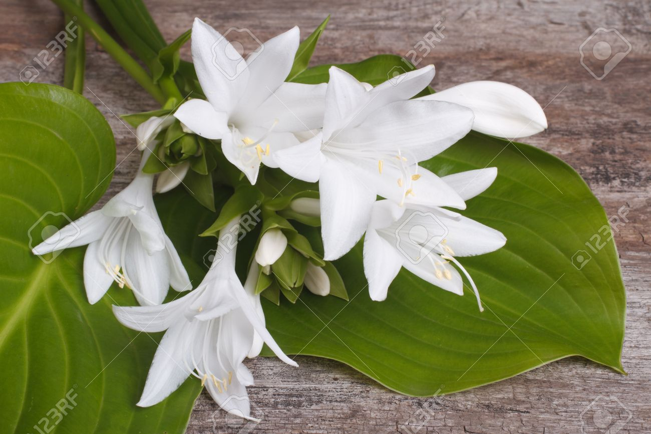 White flowers and leaves hosta on a wooden table stock photo stock photo white flowers and leaves hosta on a wooden table mightylinksfo