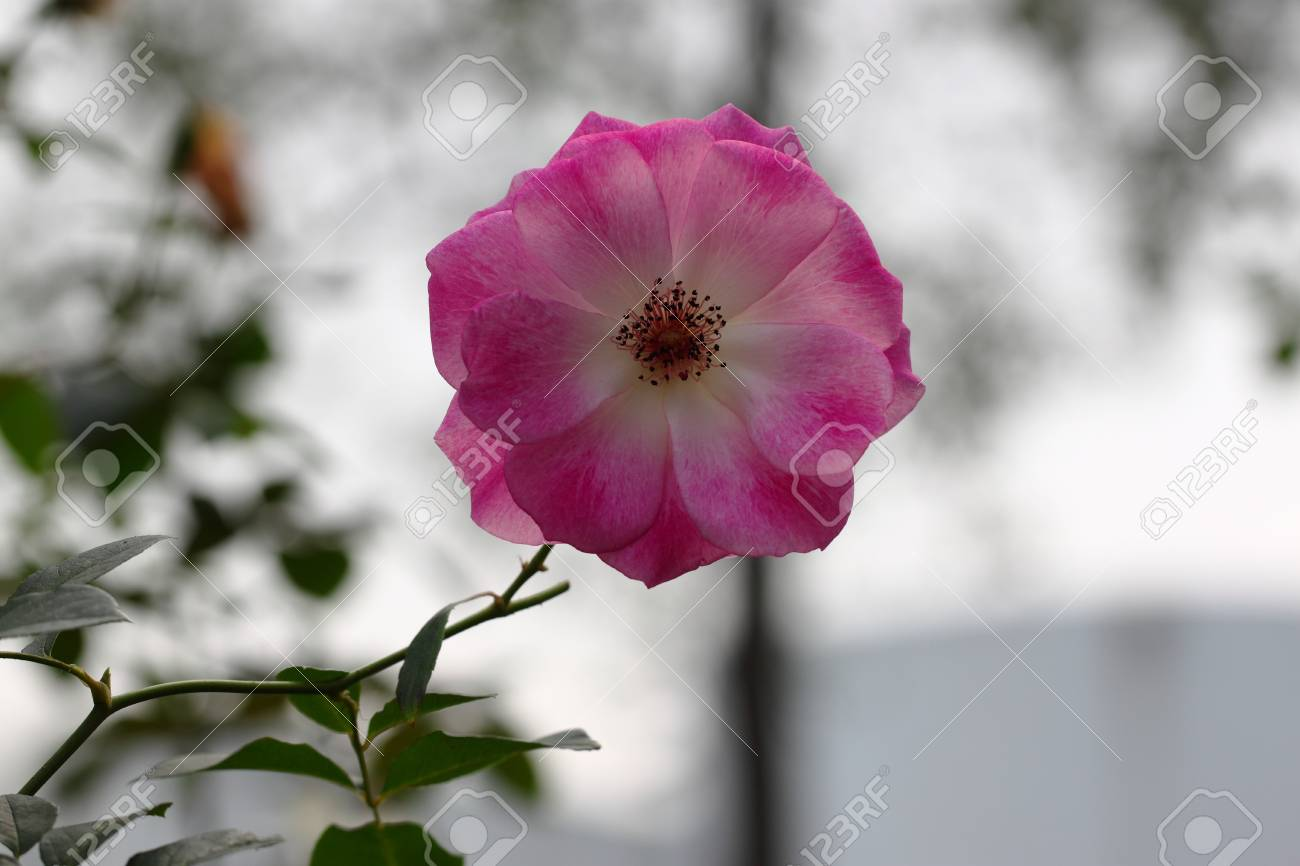 Beautiful rose flower in the garden stock photo picture and royalty beautiful rose flower in the garden stock photo 74994879 izmirmasajfo