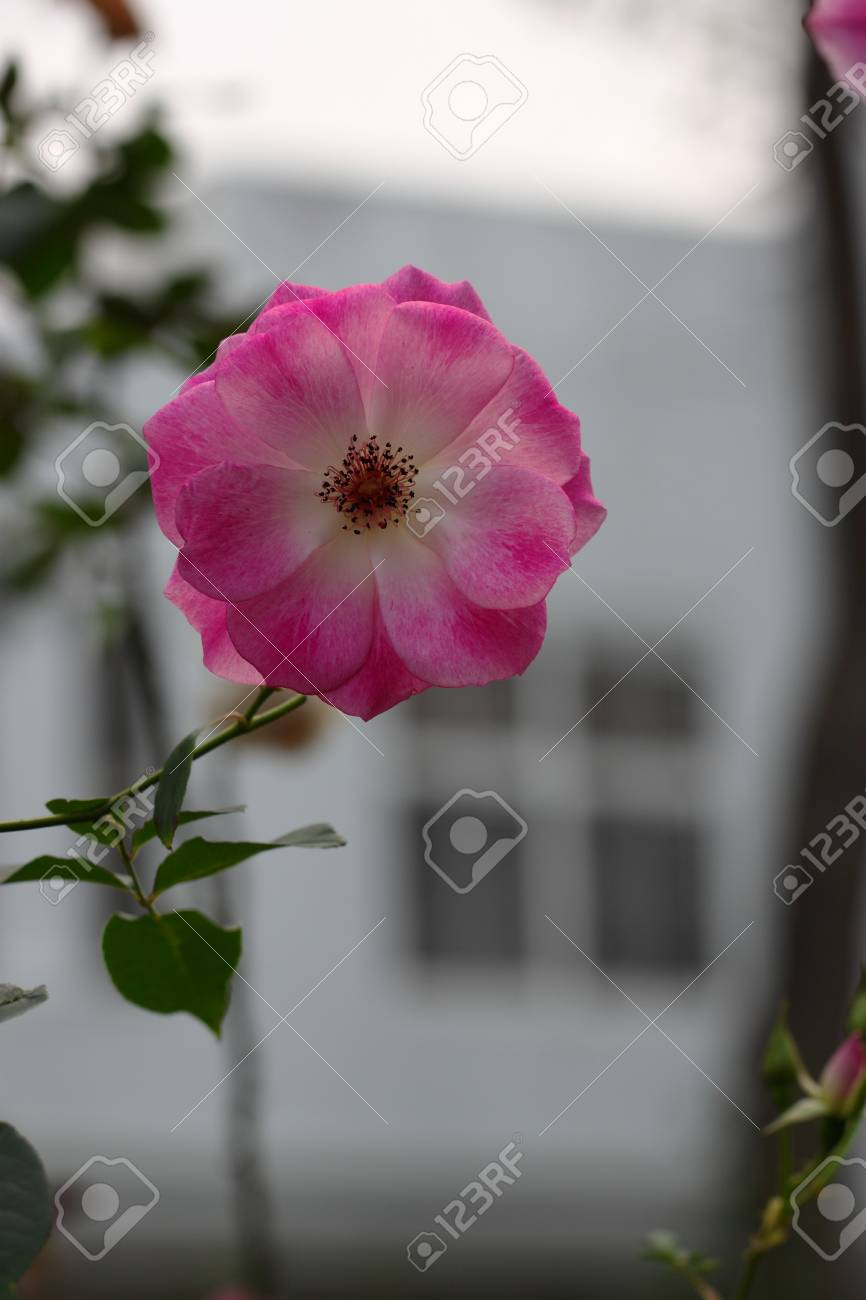 Beautiful rose flower in the garden stock photo picture and royalty beautiful rose flower in the garden stock photo 74994887 izmirmasajfo