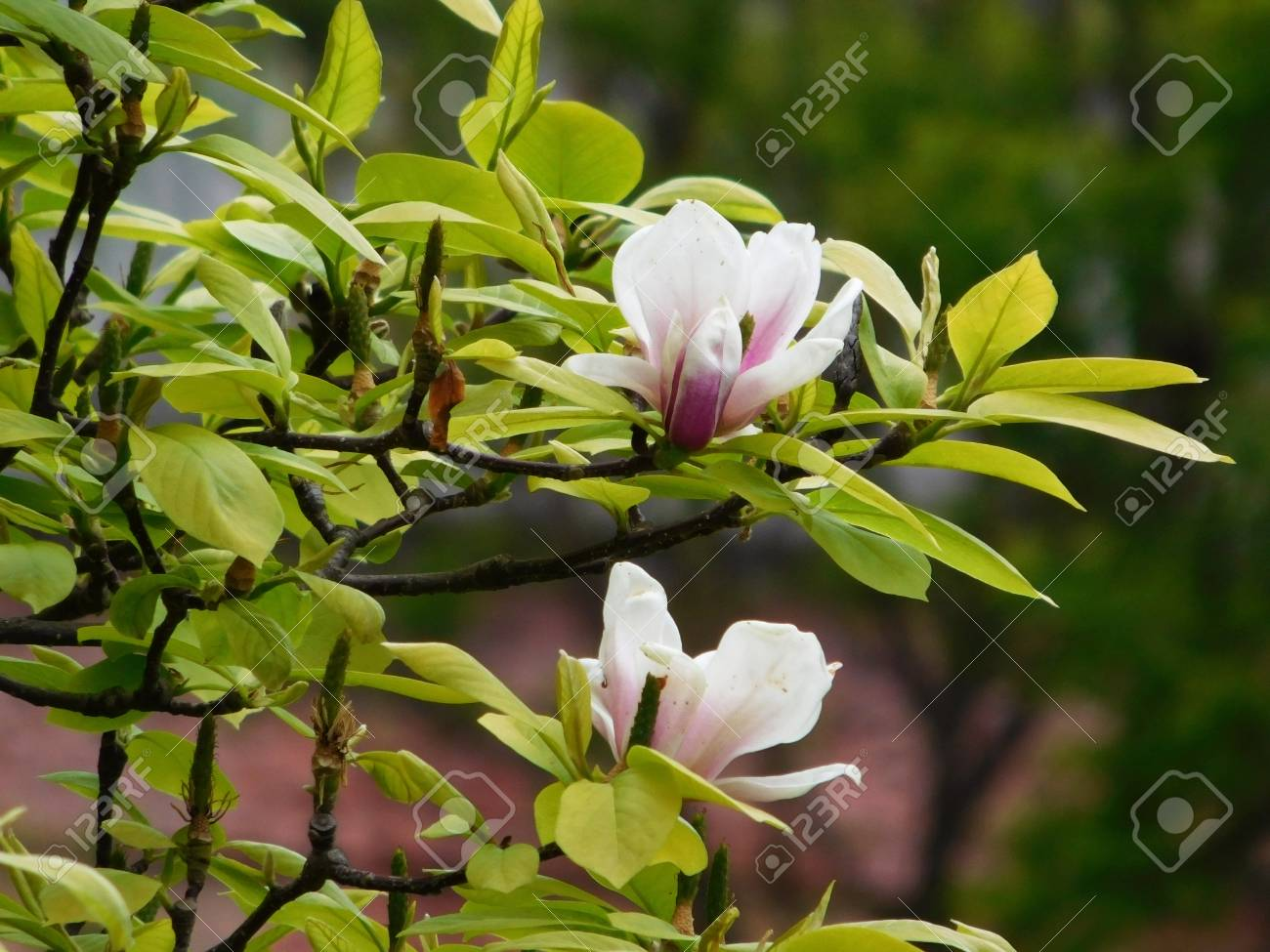 White Magnolia Flowers On Branches Stock Photo Picture And Royalty