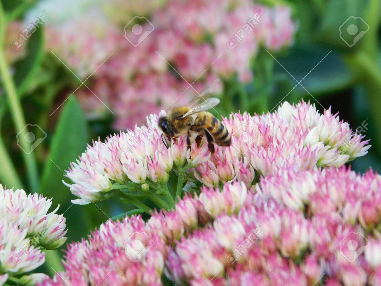 A Bee On Cluster Of Pink White Flowers Stock Photo Picture And