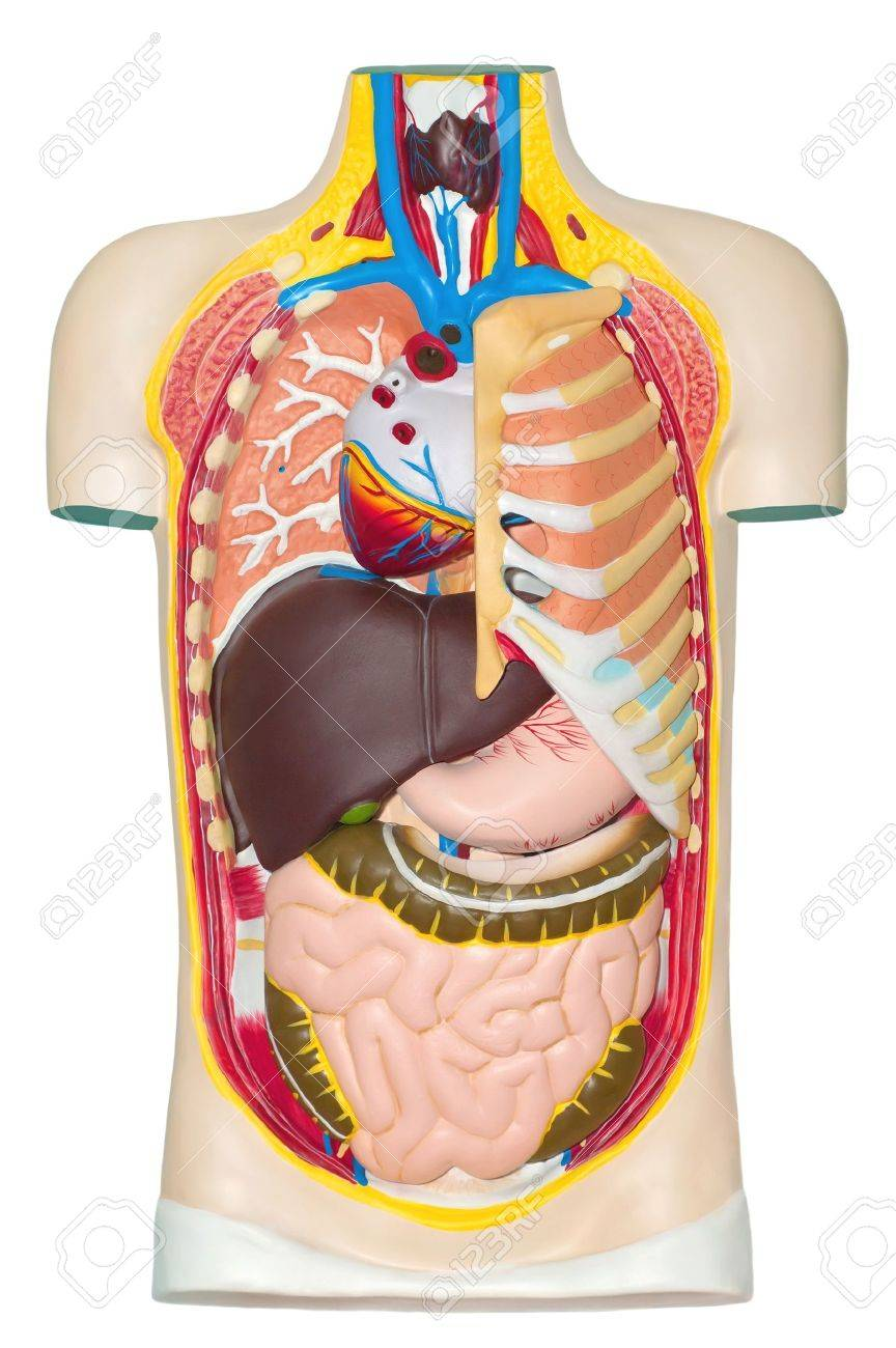 Human anatomy dummy Stock Photo - 12817539