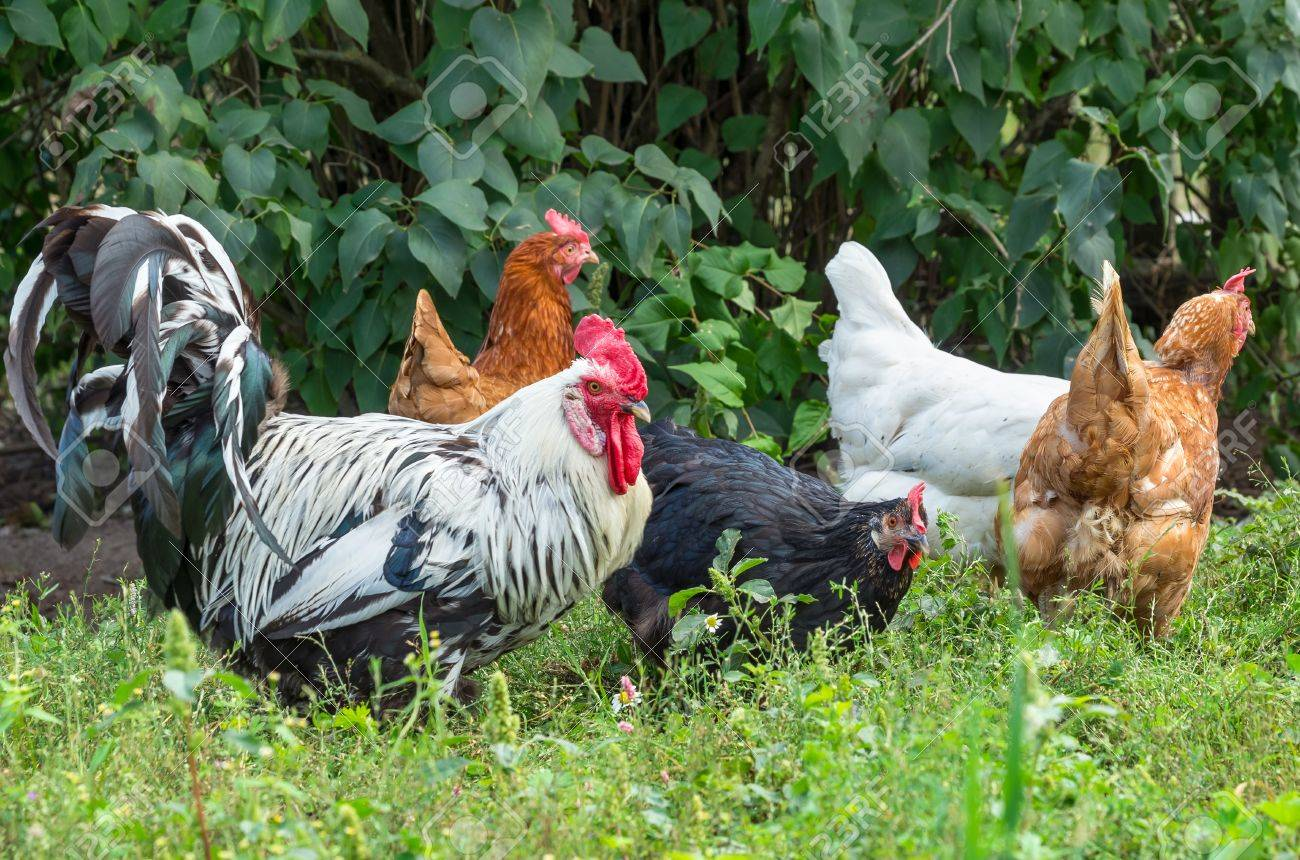 A flock of chickens walking on a green meadow. - 23060767