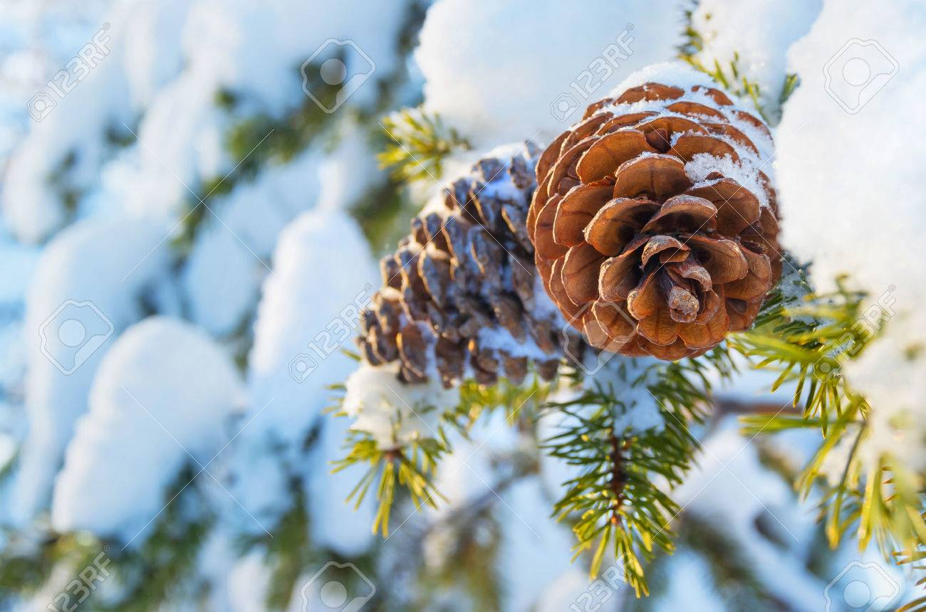 Winter background with pine cones - 32703367