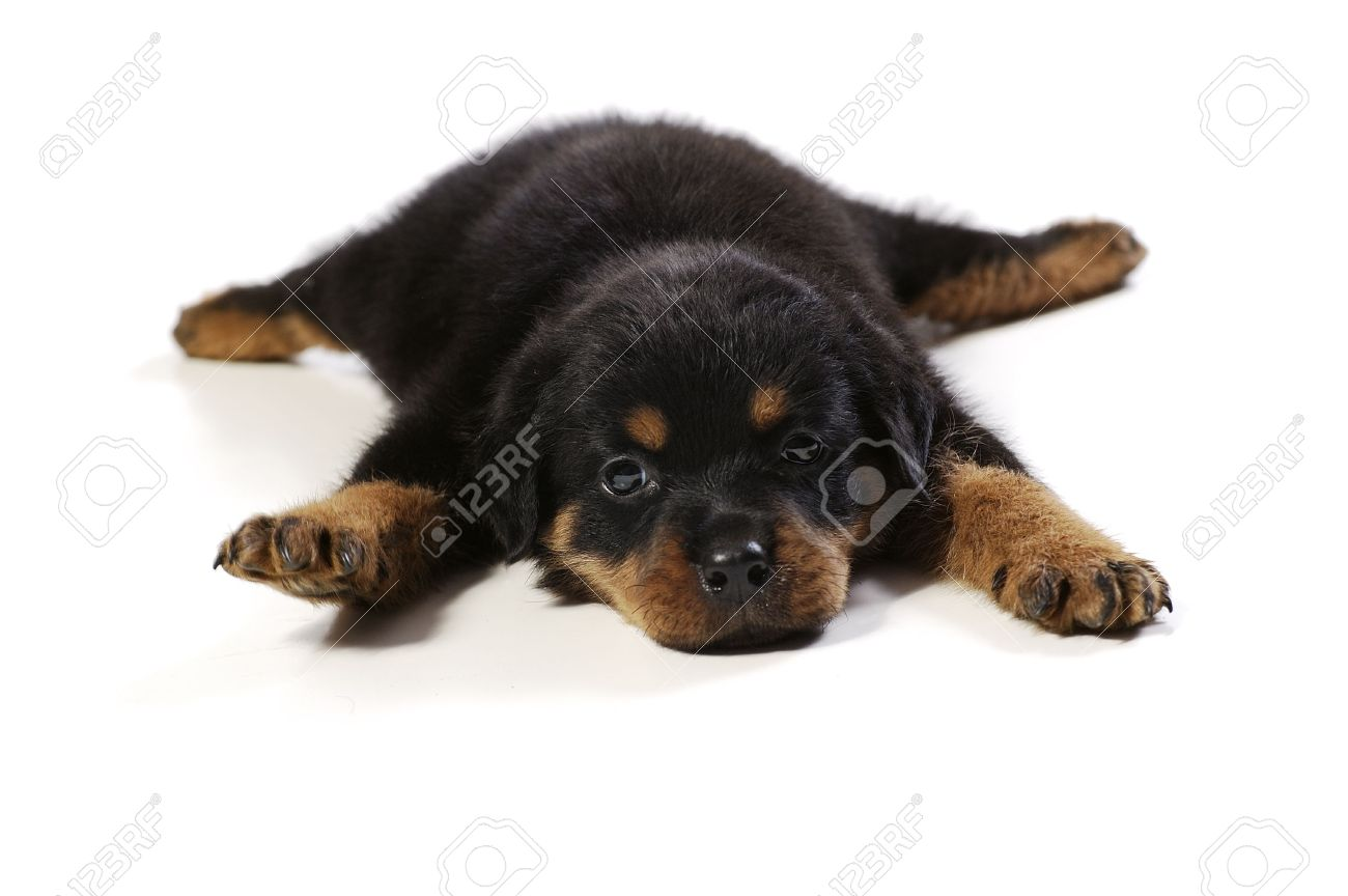 Cute Rottweiler Puppy At White Background Stock Photo Picture And