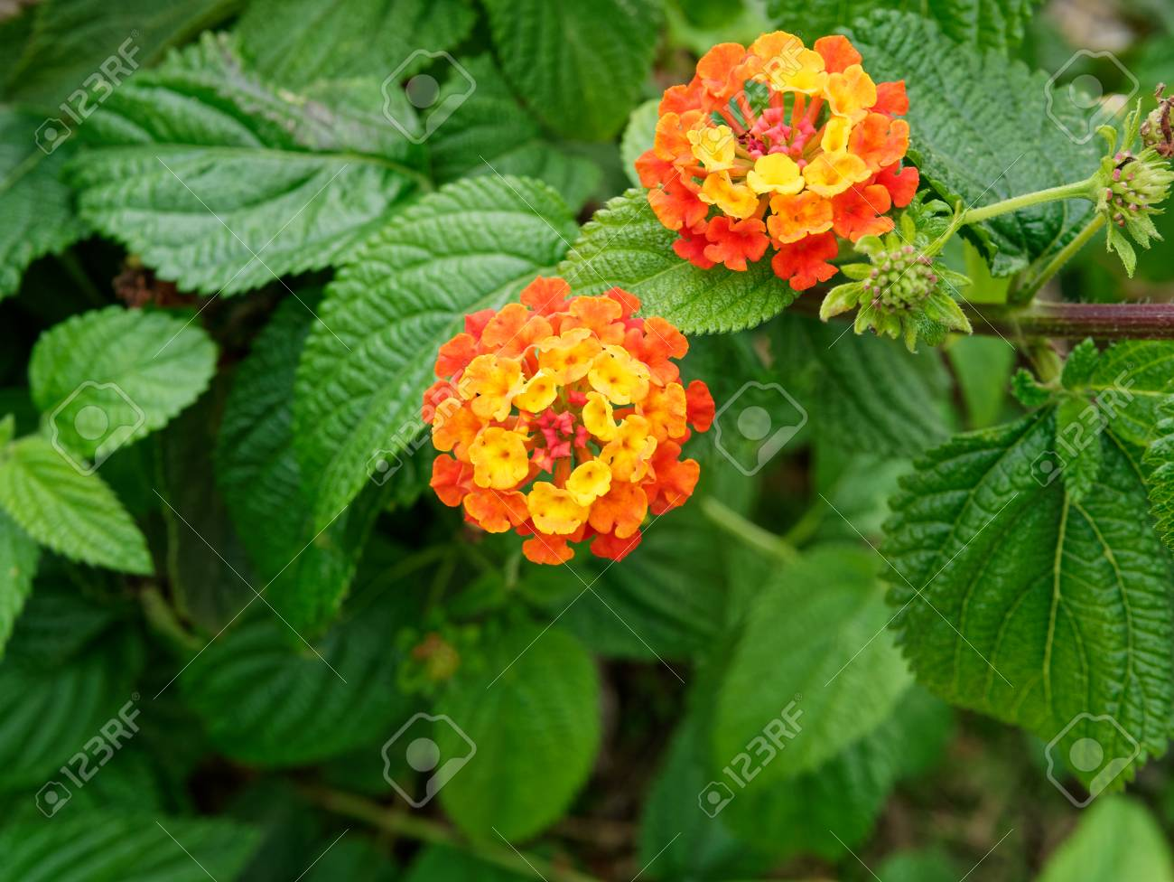 Lantana Wild Sage Cloth Of Gold Lantana Camara Flower In The