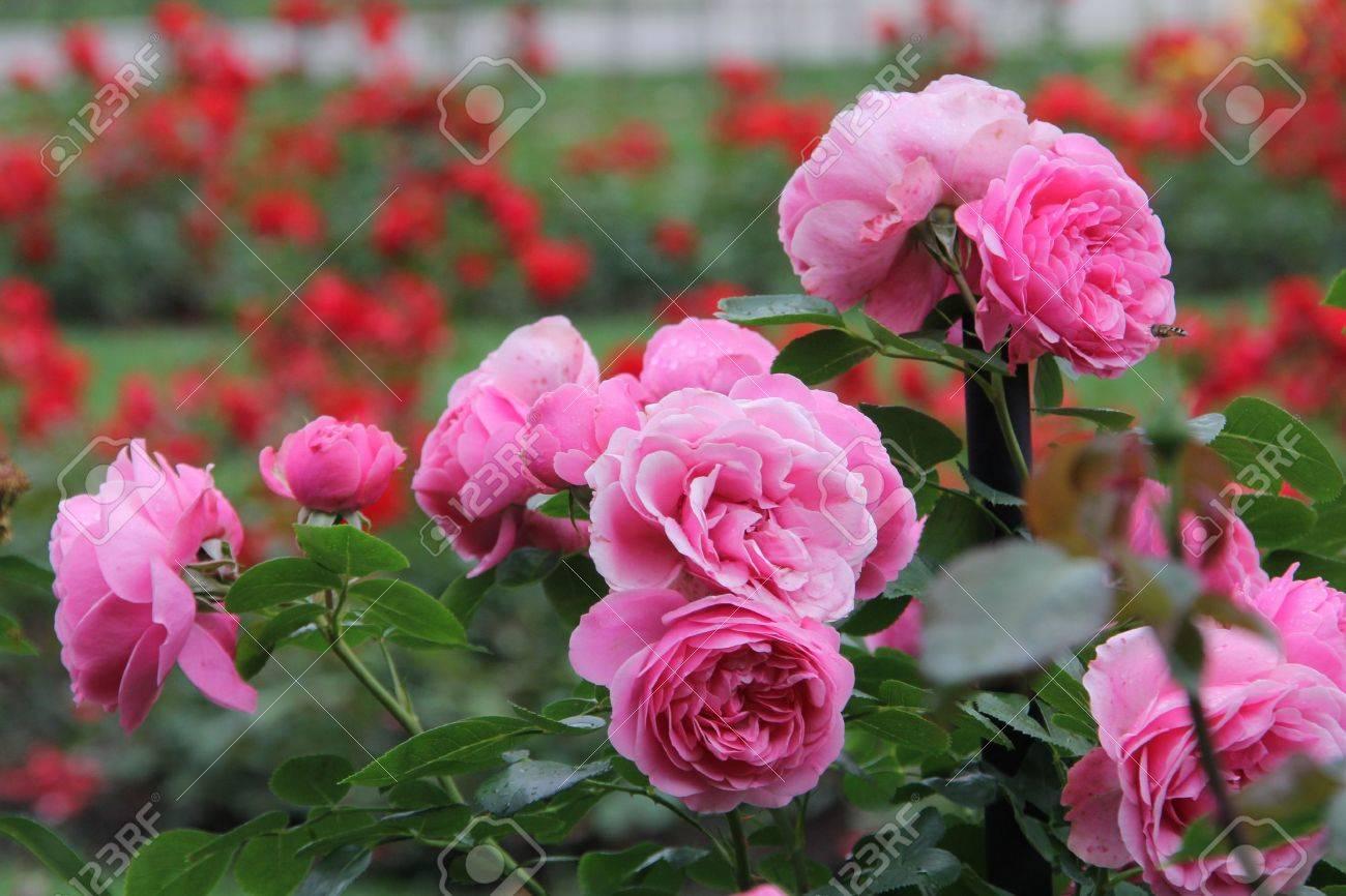 beau jardin de roses Banque d'images - 14033913