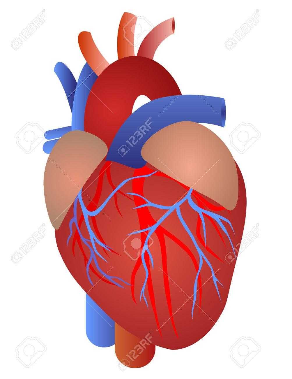 Menschliches Herz Von Einem Gesunden Körper Lokalisiert Auf Weißem ...
