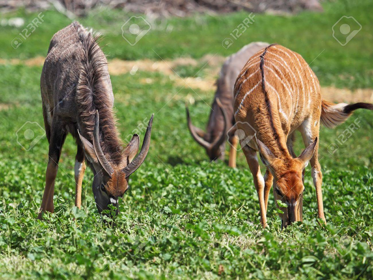 male and female antelope kudu feeding on the grass Stock Photo - 12685291