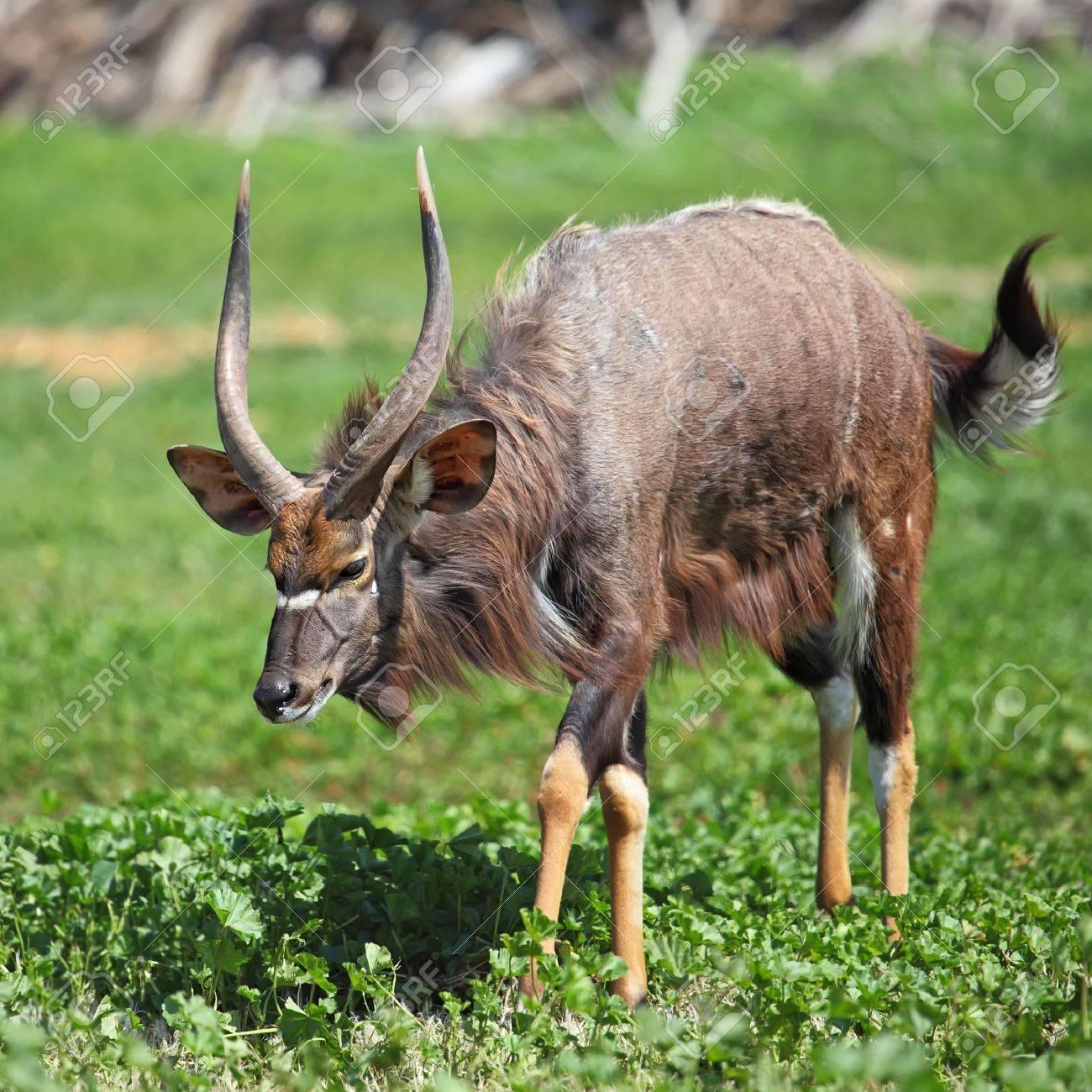 male antelope kudu on the grass Stock Photo - 12918541
