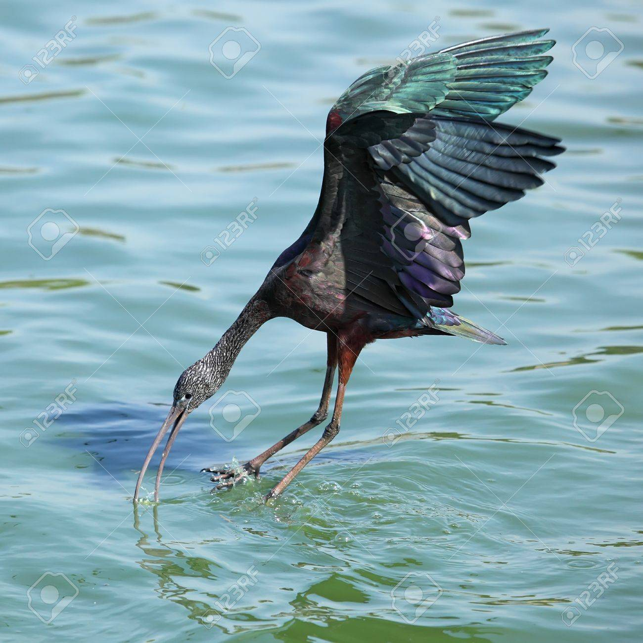 The Glossy Ibis  Plegadis falcinellus  is a wading bird in the ibis family Threskiornithidae Landing on water Stock Photo - 13325813