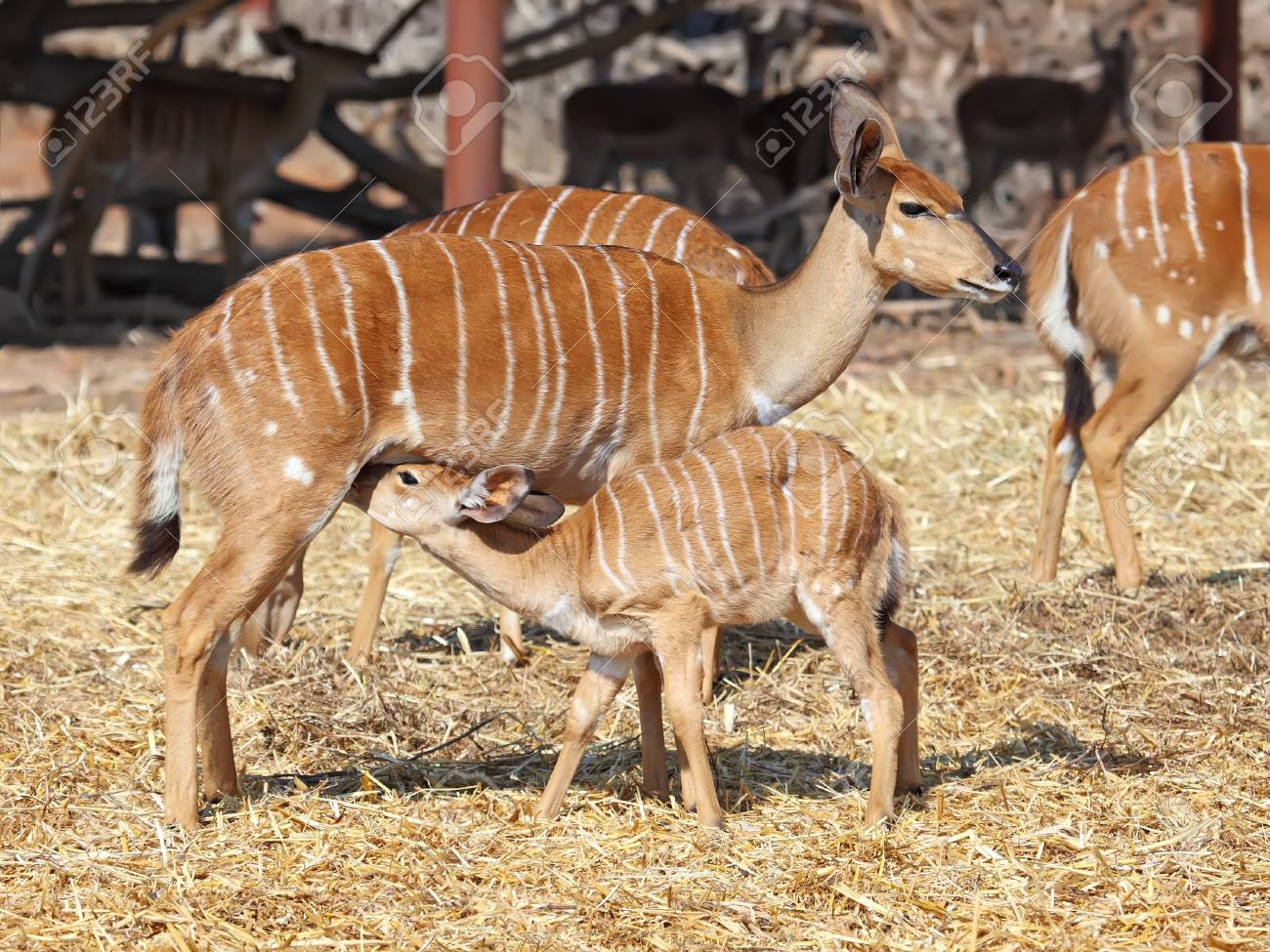 Little antelope Kudu trying to eat from his mom Stock Photo - 13329490