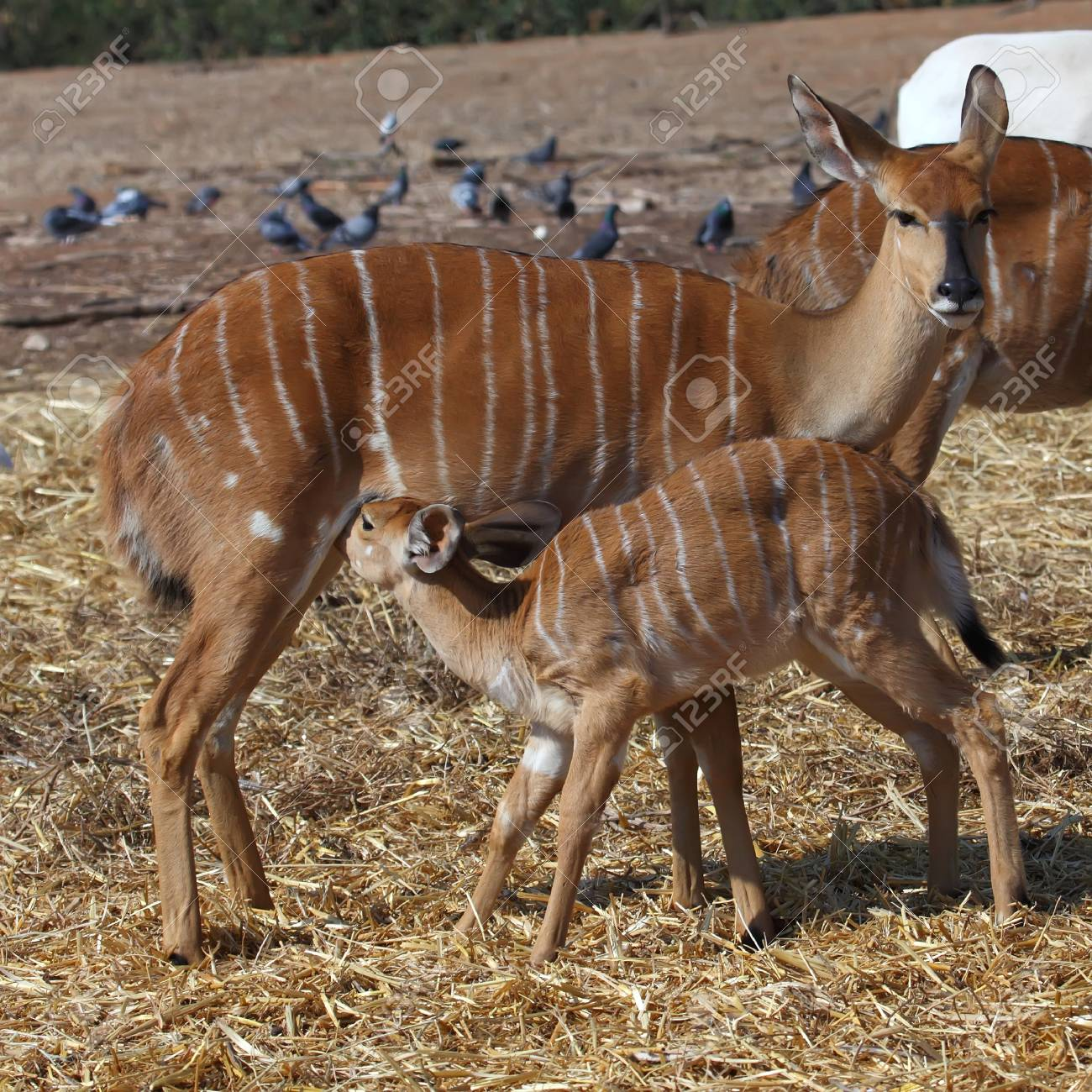 Little antelope Kudu trying to eat from his mom Stock Photo - 13694459
