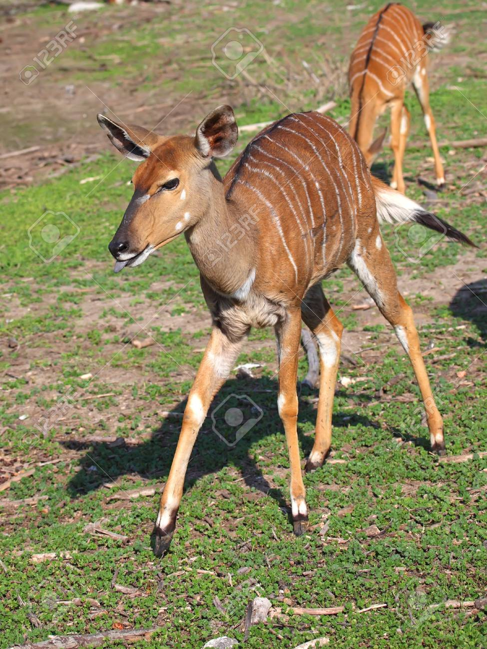Kudu  Tragelaphus Strepsiceros  standing in the nature reserve in Israel Stock Photo - 14174396
