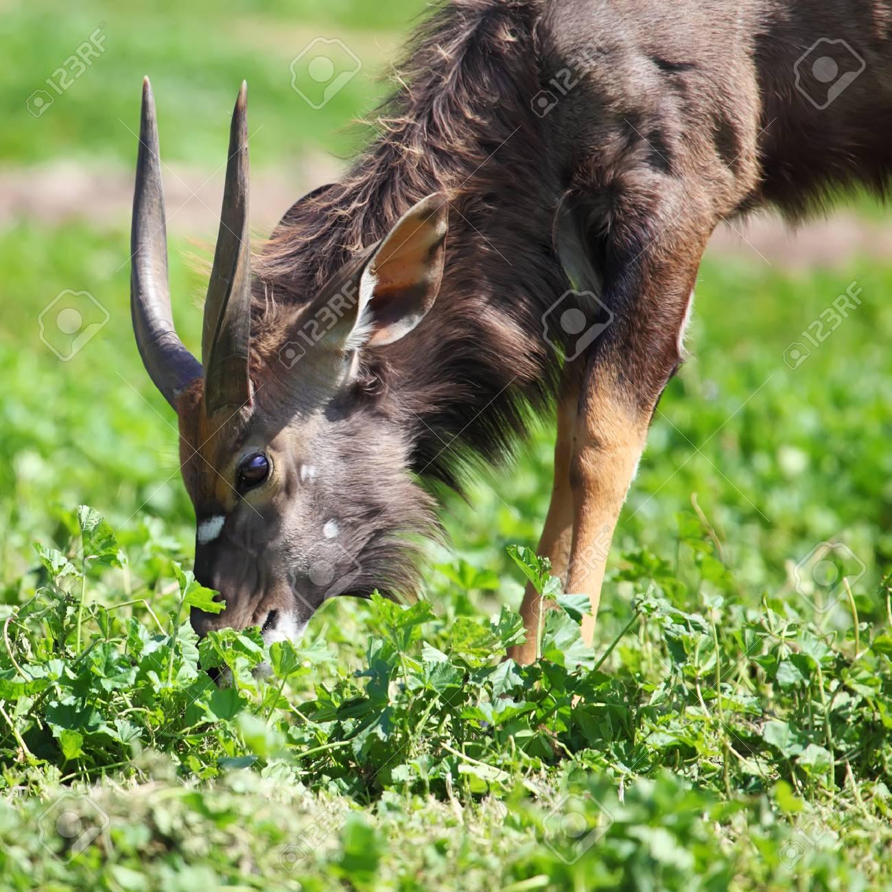 male antelope kudu on the grass Stock Photo - 15063573