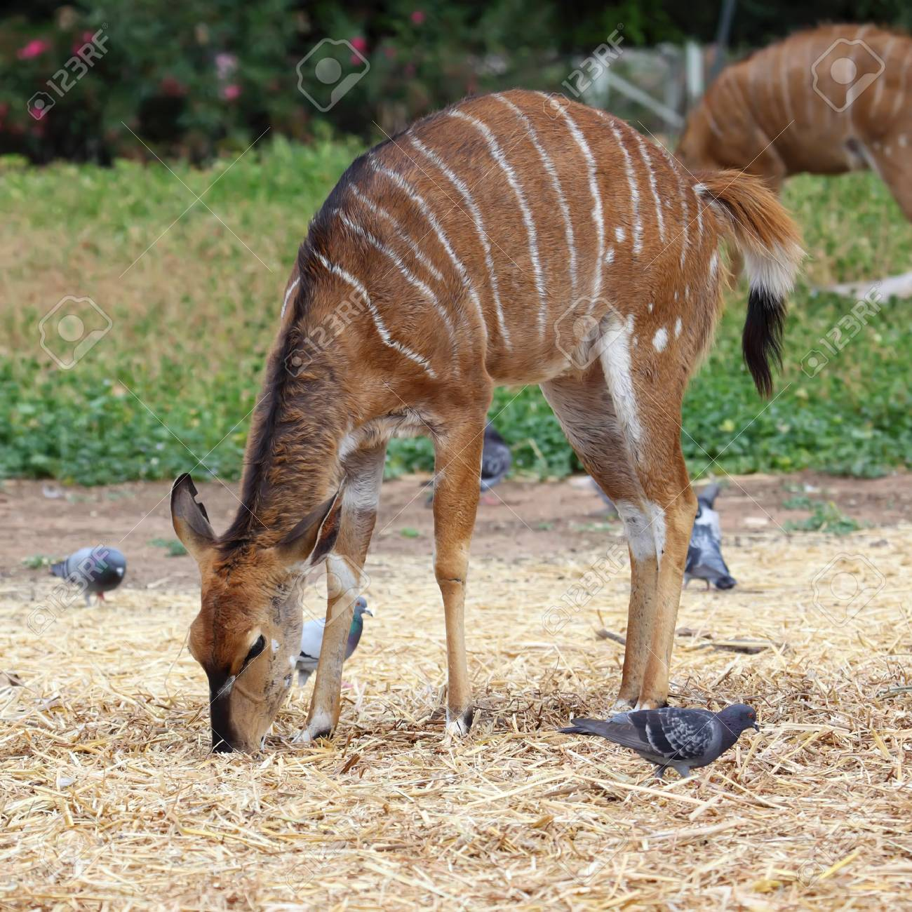 Kudu  Tragelaphus Strepsiceros  standing in the nature reserve in Israel Stock Photo - 15683958