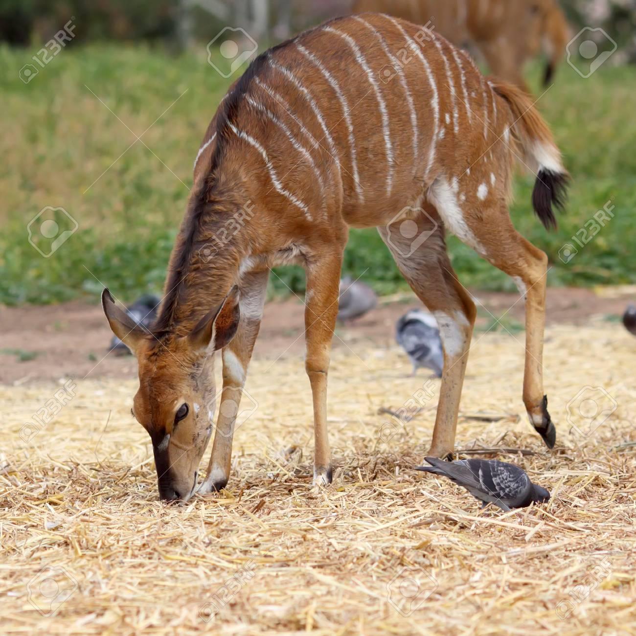 female antelope kudu feeding on the grass Stock Photo - 15857460
