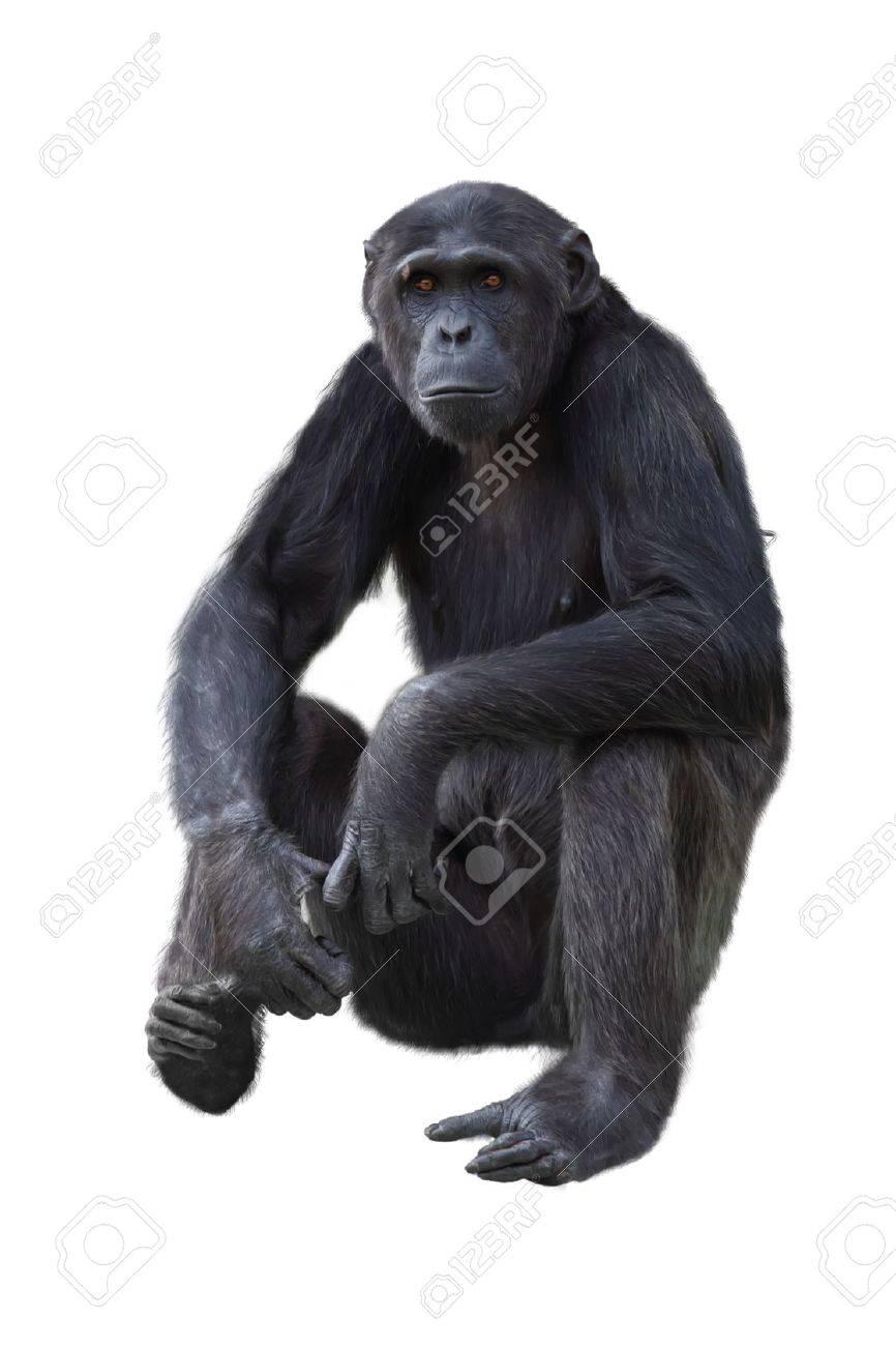 Chimpanzee on a white background Stock Photo - 16989452