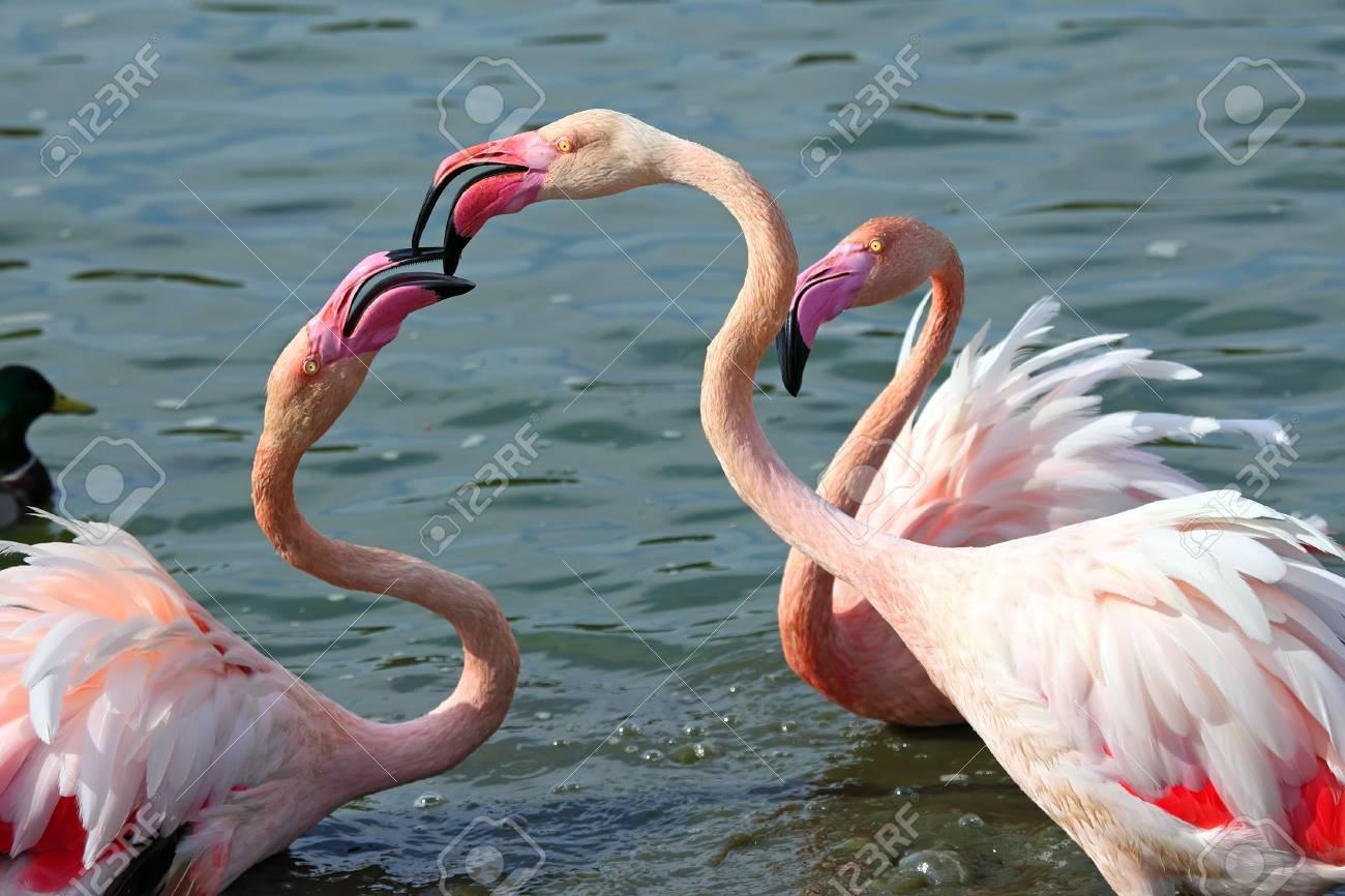 Head and neck image of Three flamingos Stock Photo - 18203823
