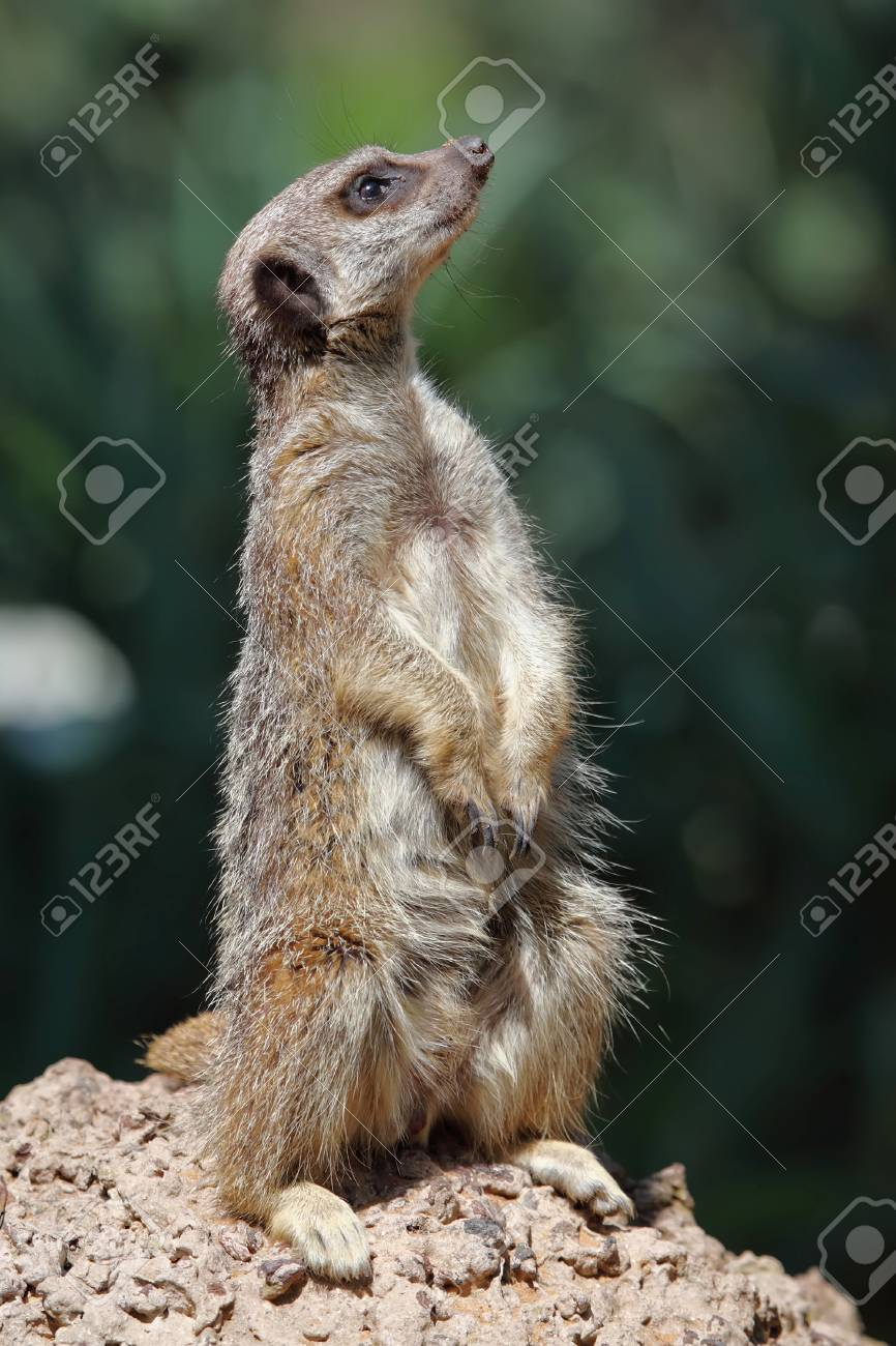 Portrait of a standing suricate on the stone Stock Photo - 18516199