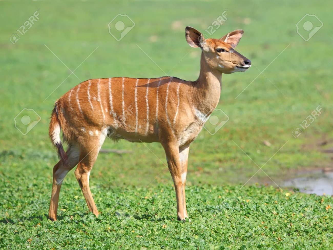 female antelope kudu on the grass Stock Photo - 18849366