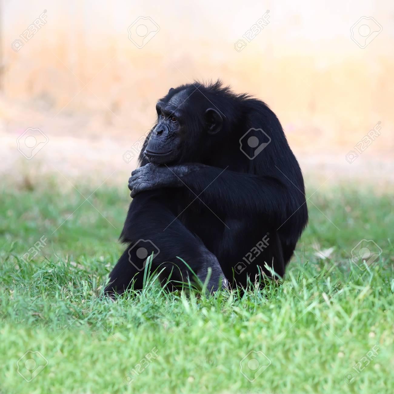 Chimpanzee sitting on a grass Stock Photo - 21694947