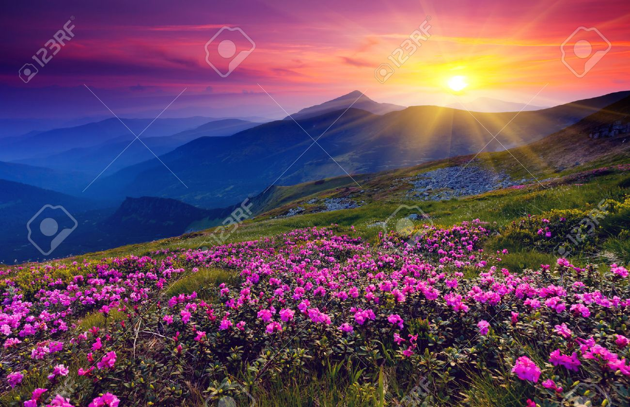 Magic pink rhododendron flowers on summer mountain Stock Photo - 30262494