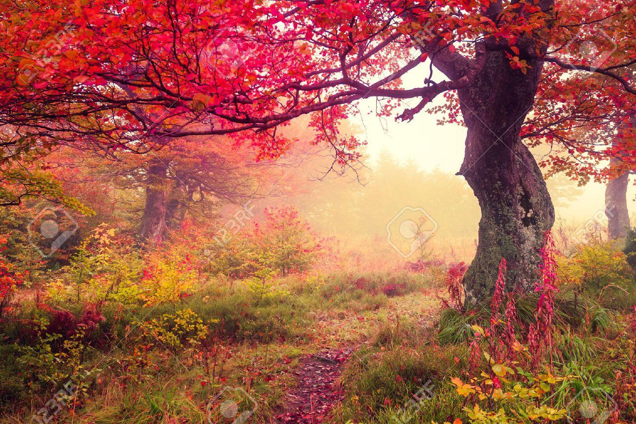 Majestic landscape with autumn trees in forest. Carpathian, Ukraine, Europe. Beauty world. Retro filtered. Toning effect. Stock Photo - 31677696