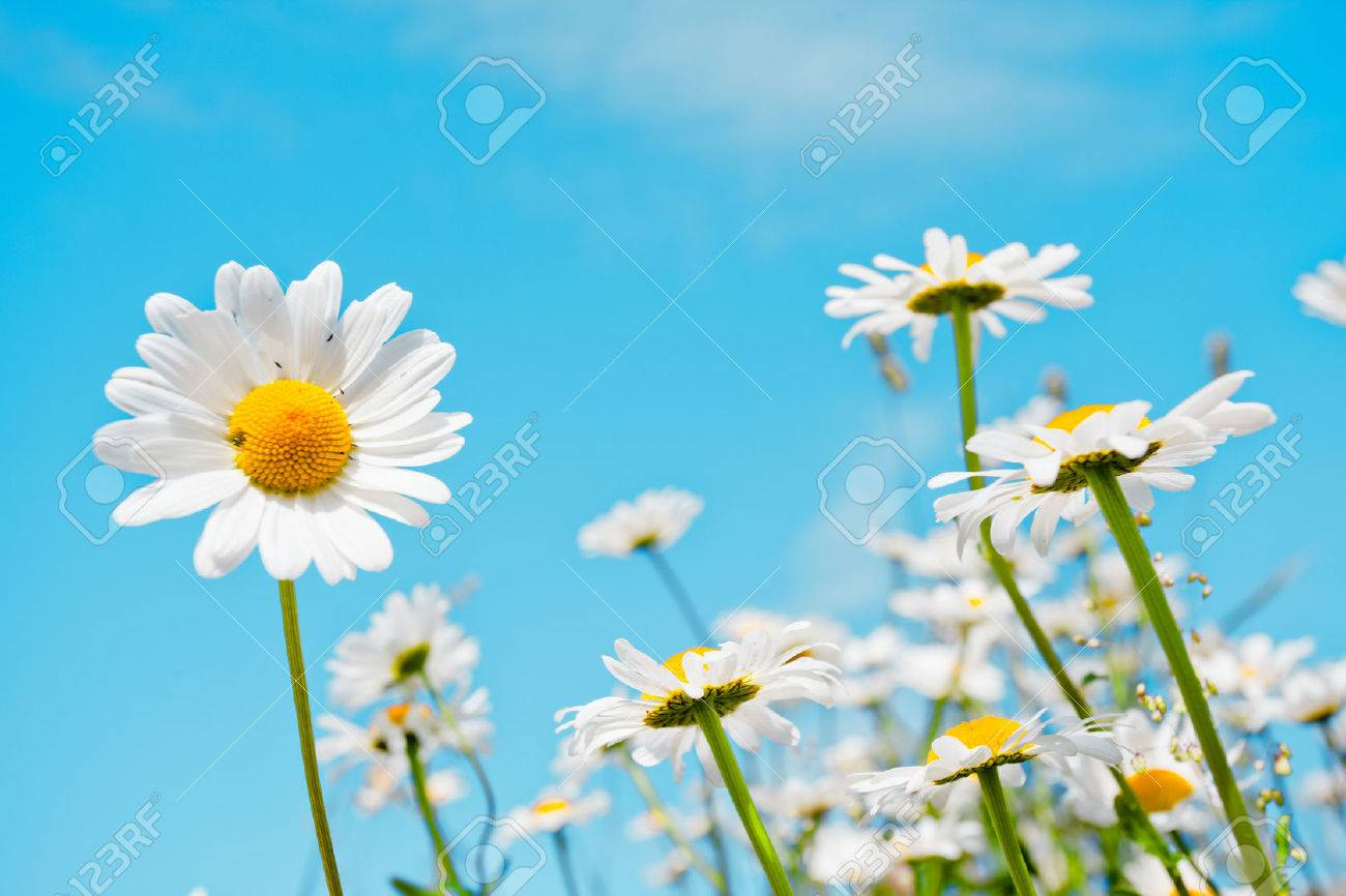 Summer field with white daisies on blue sky - 47565593