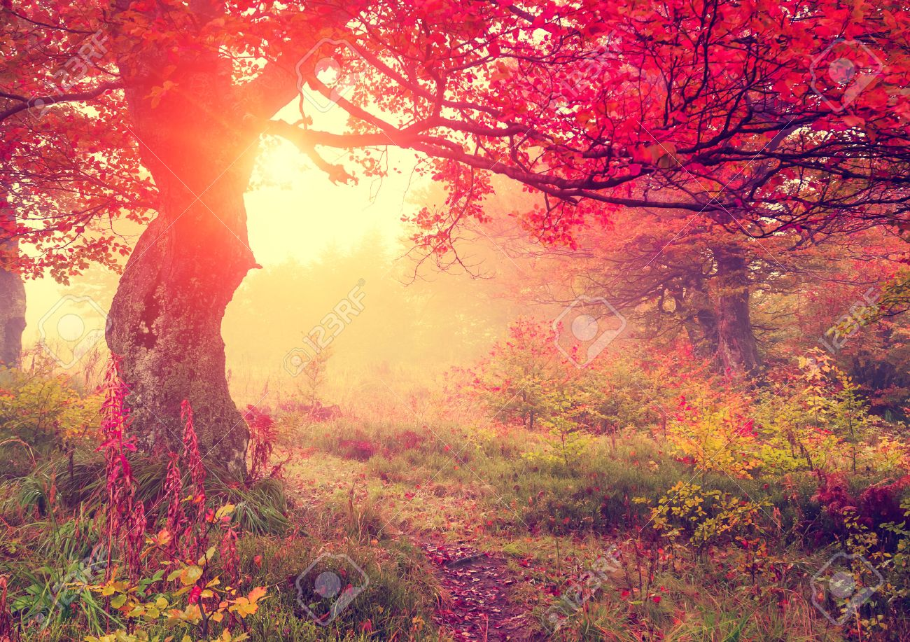 Majestic autumn trees in forest glowing by sunlight. Red autumn leaves. Dramatic morning scene. Carpathian, Ukraine, Europe. Beauty world. Retro style filter. Instagram toning effect. - 47566165