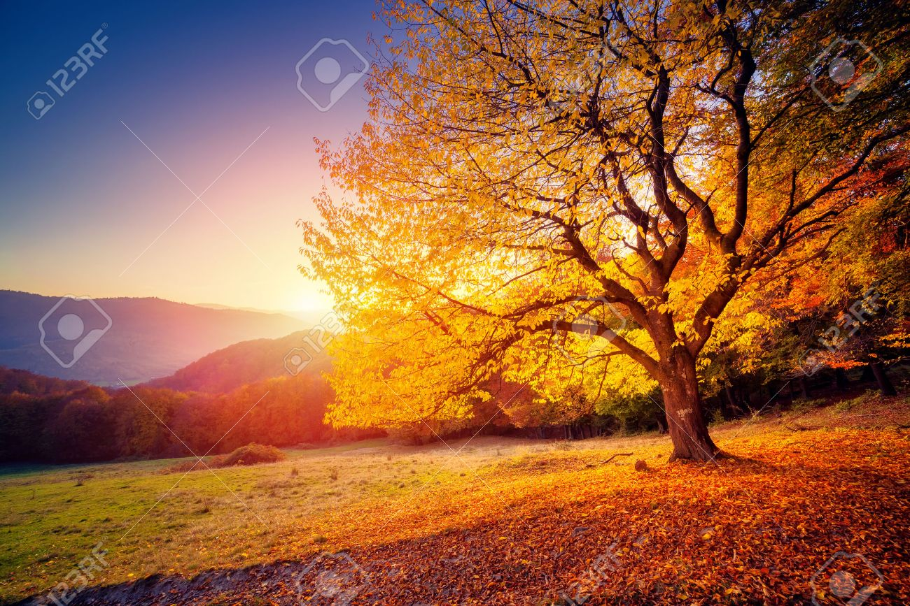 Majestic alone beech tree on a hill slope with sunny beams at mountain valley. Dramatic colorful morning scene. Red and yellow autumn leaves. Carpathians, Ukraine, Europe. Beauty world. - 47565700