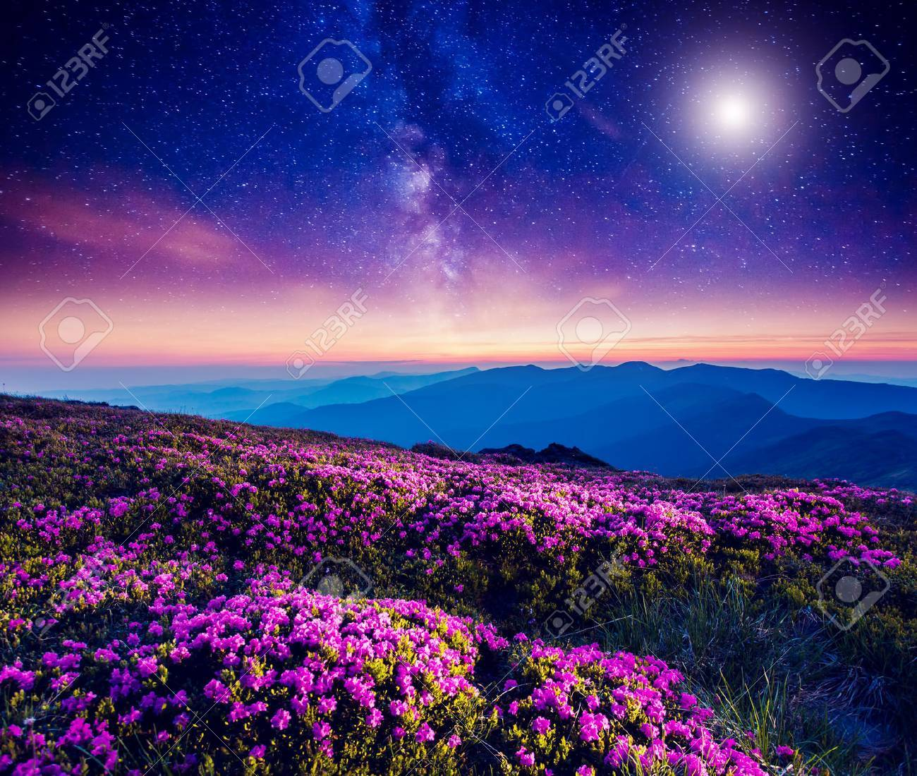 Great view of the magic pink rhododendron flowers on the hill. Dramatic and fantastic scene. Carpathian, Ukraine - 64170206