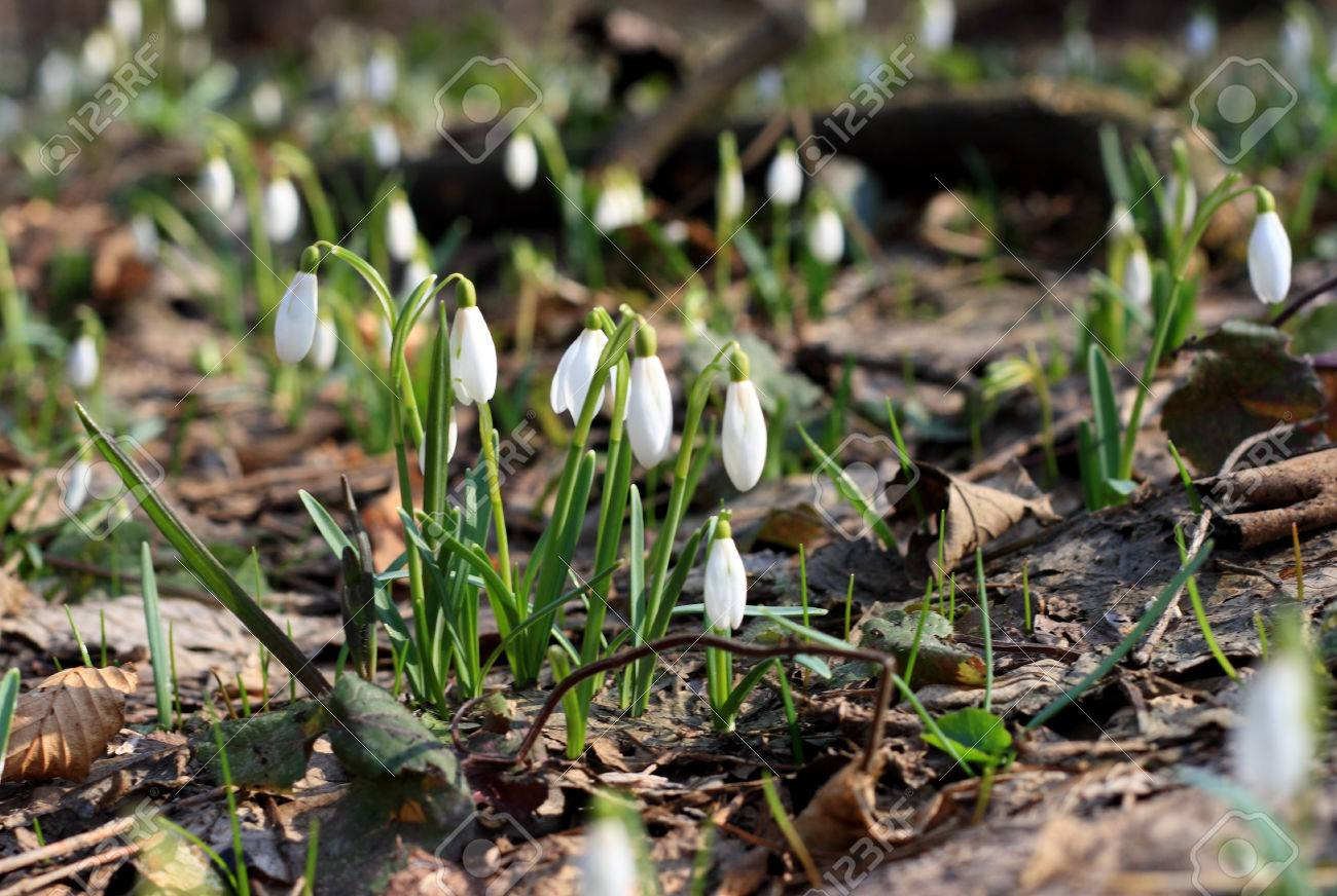 Backlighting With Spring Sun Snowdrops First Spring Flowers Stock