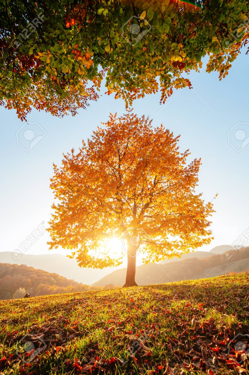 Shiny beech tree on a hill slope with sunny beams at mountain valley. Dramatic morning scene. Red and yellow autumn leaves. Location place Carpathians, Ukraine, Europe. - 95302804