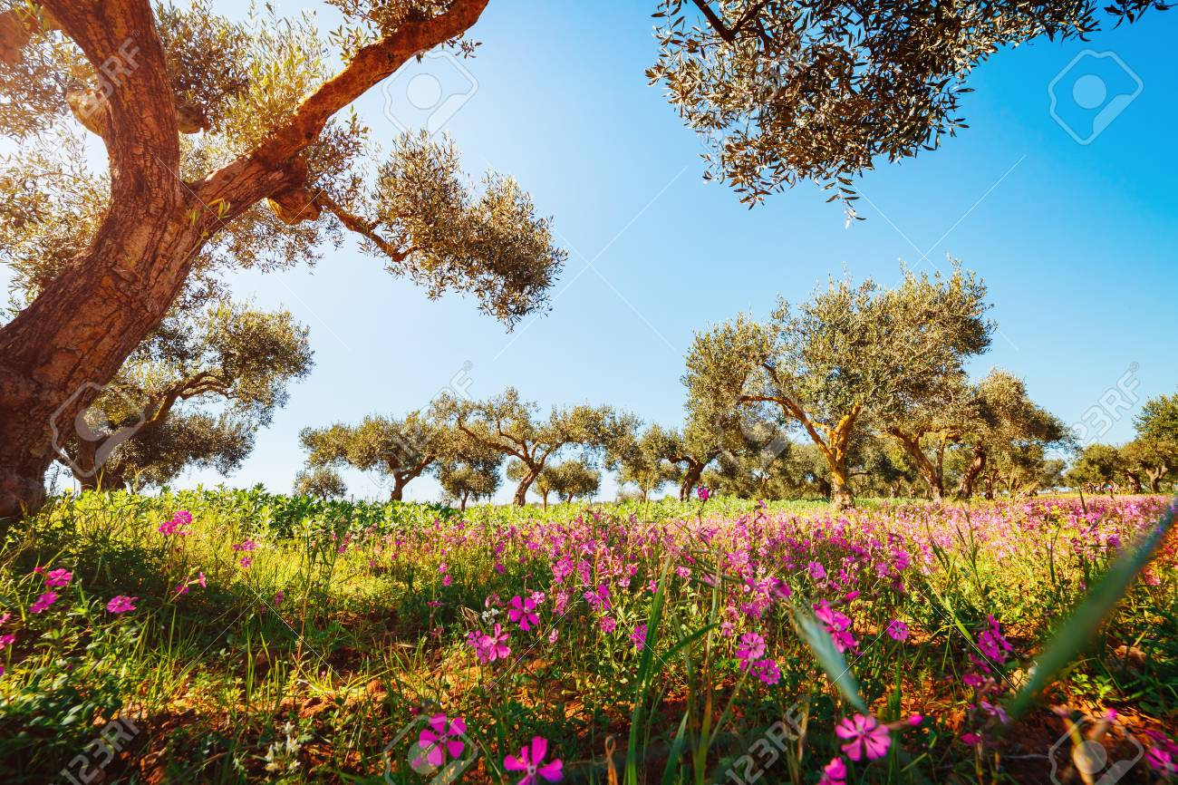 Splendid Olive Orchard In Blossom Picturesque Day And Gorgeous