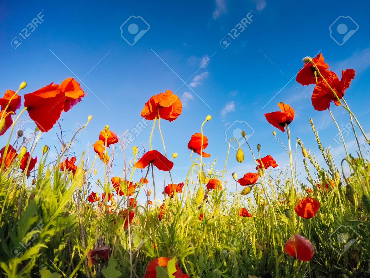 Blooming red poppies on field against the sun, blue sky. Wild flowers in springtime. Dramatic day and gorgeous scene. Wonderful image of wallpaper. Explore the world's beauty. Artistic picture. - 101341594