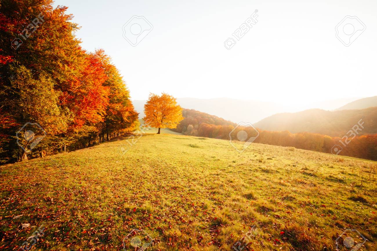 Awesome image of the shiny beech tree on a hill slope at mountain valley. Dramatic scene. Orange and yellow leaves. Location place Carpathians, Ukraine, Europe. Beauty world. Breathtaking wallpaper. - 120347322