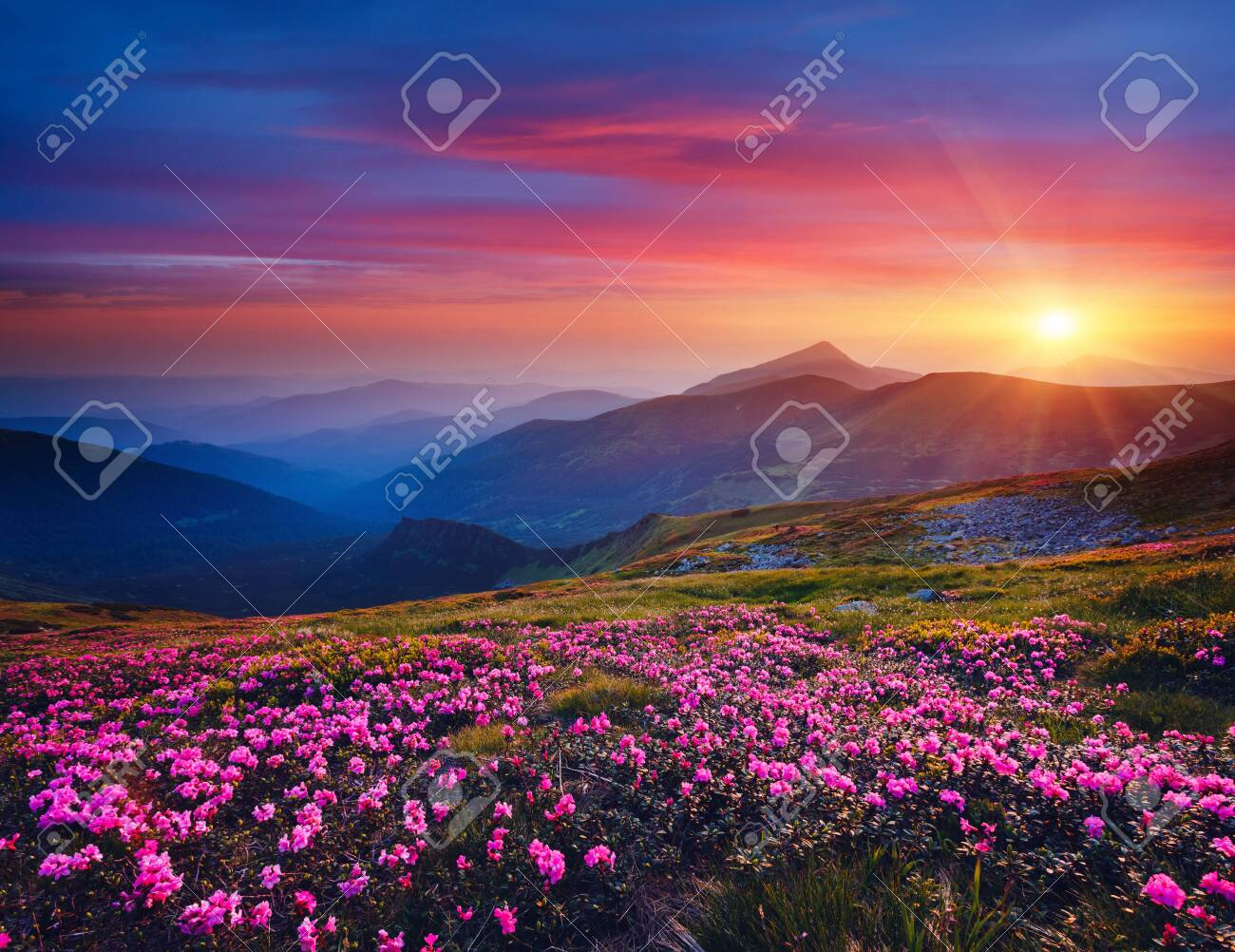 Charming pink flower rhododendrons at magical sunset. Location Carpathian mountain, Ukraine, Europe. Beautiful nature landscape. Scenic image of idyllic summer wallpaper. Discover the beauty of earth. - 144388558