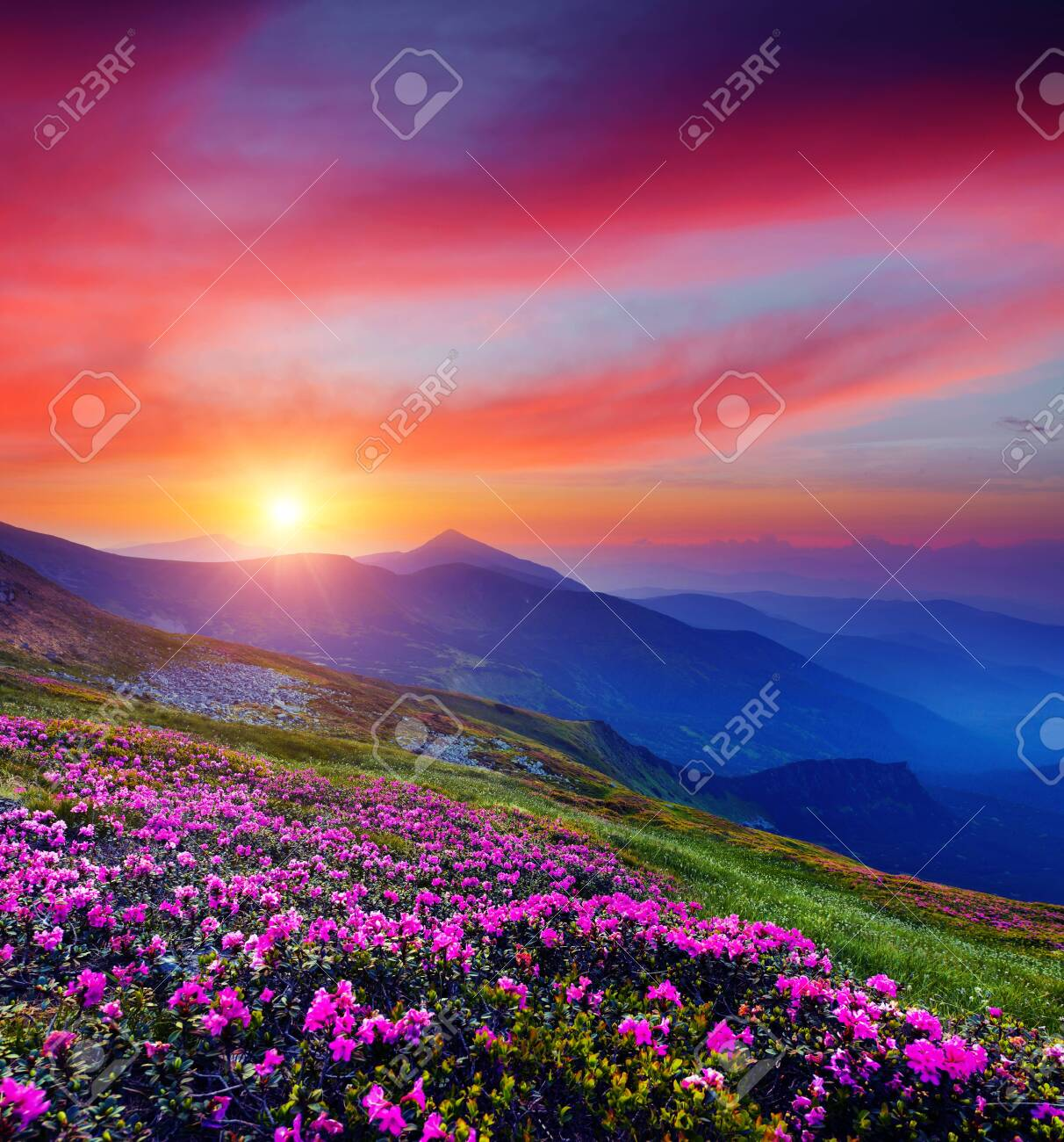 Pink flower rhododendrons at magical sunset. Location Carpathian mountain, Ukraine, Europe. Most popular tourist destination. Scenic image of idyllic summer wallpaper. Discover the beauty of earth. - 148242533