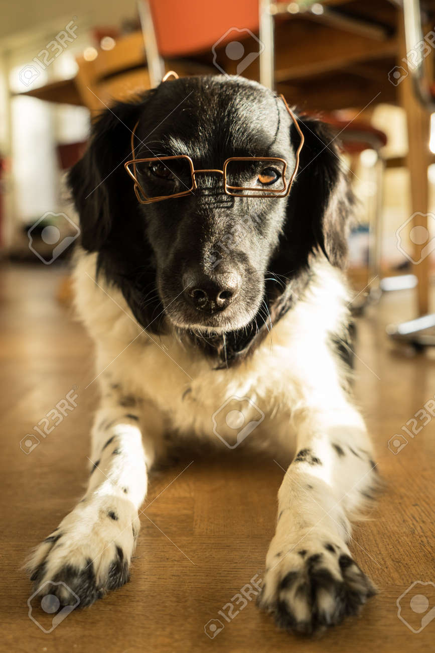 Funny Friesian Stabyhoun with glasses lying down indoors - 155423586